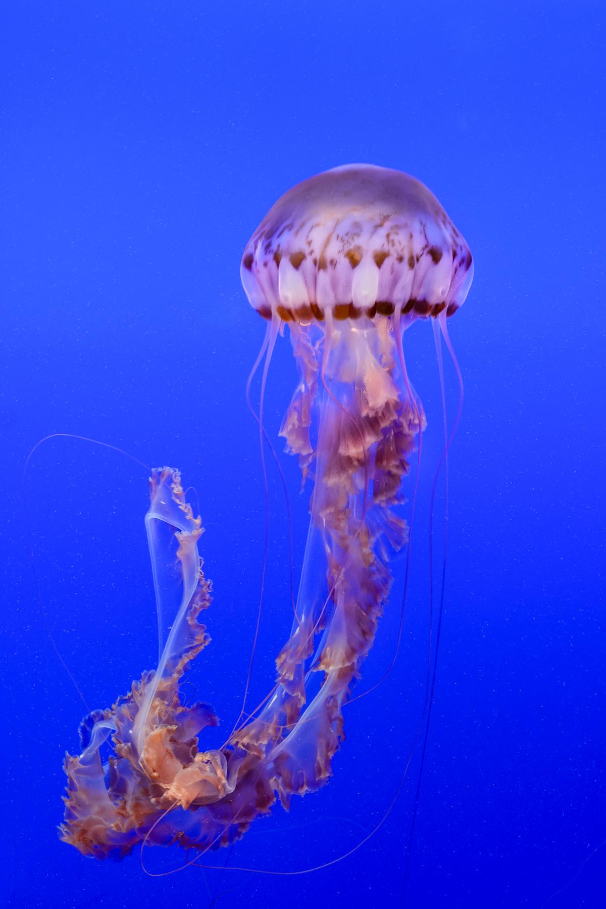 Jellyfish in Monterey...