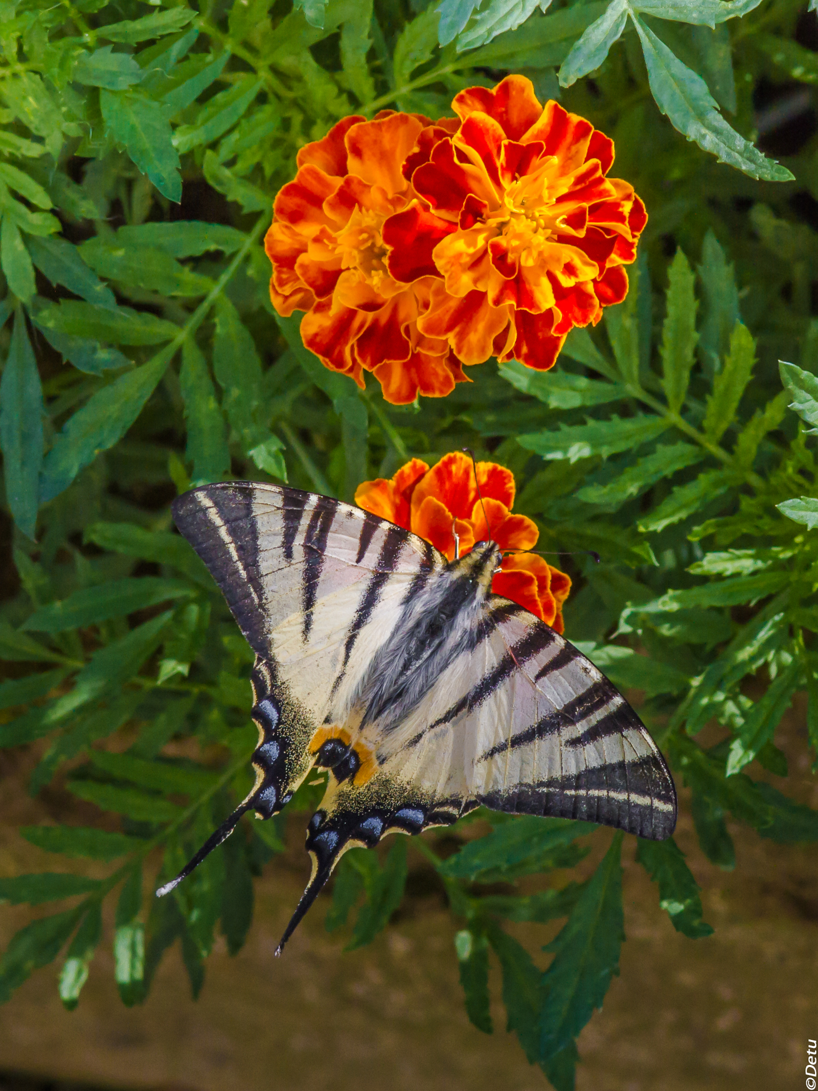Scarce Swallowtail...