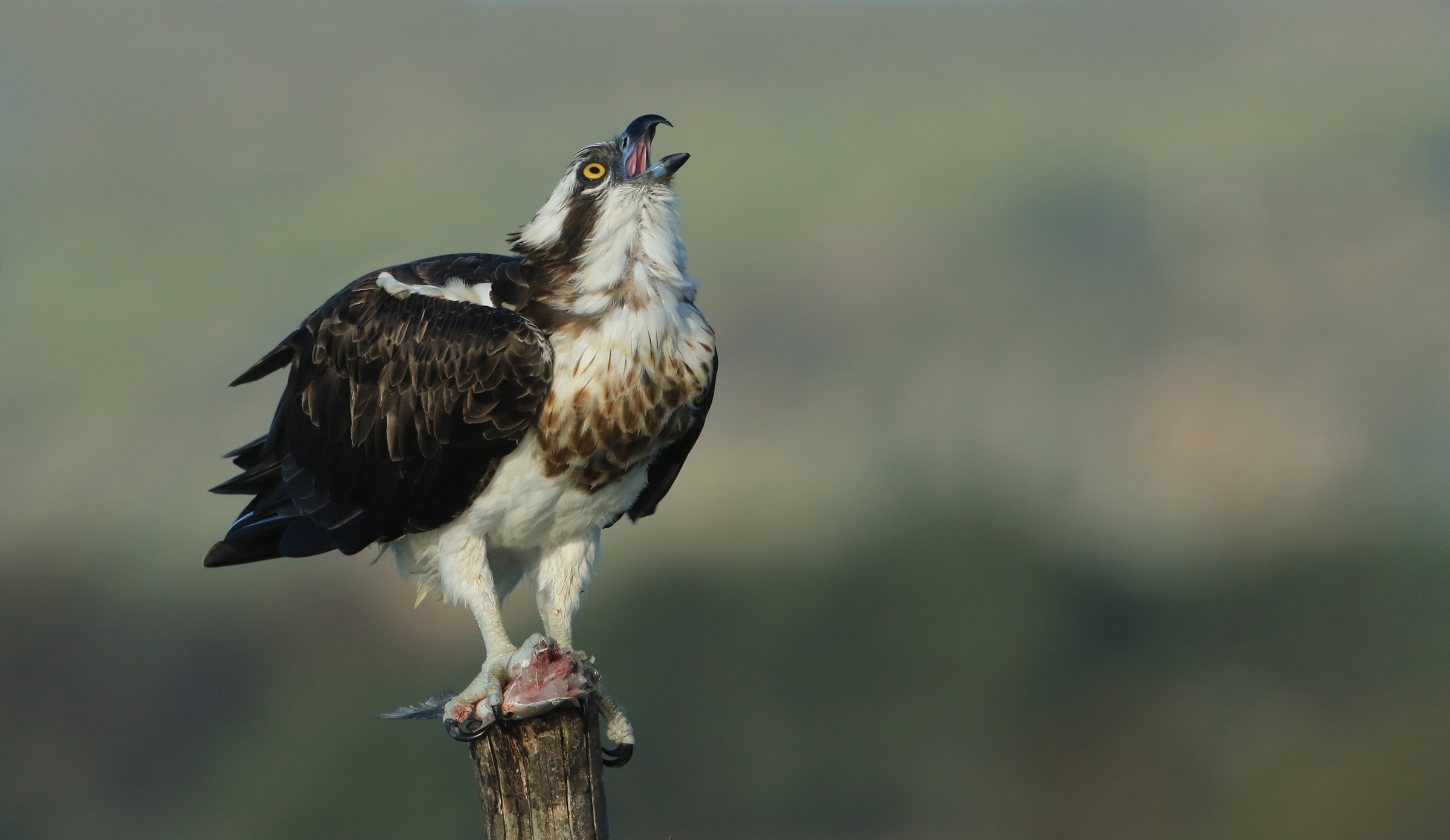 the cry of the osprey...