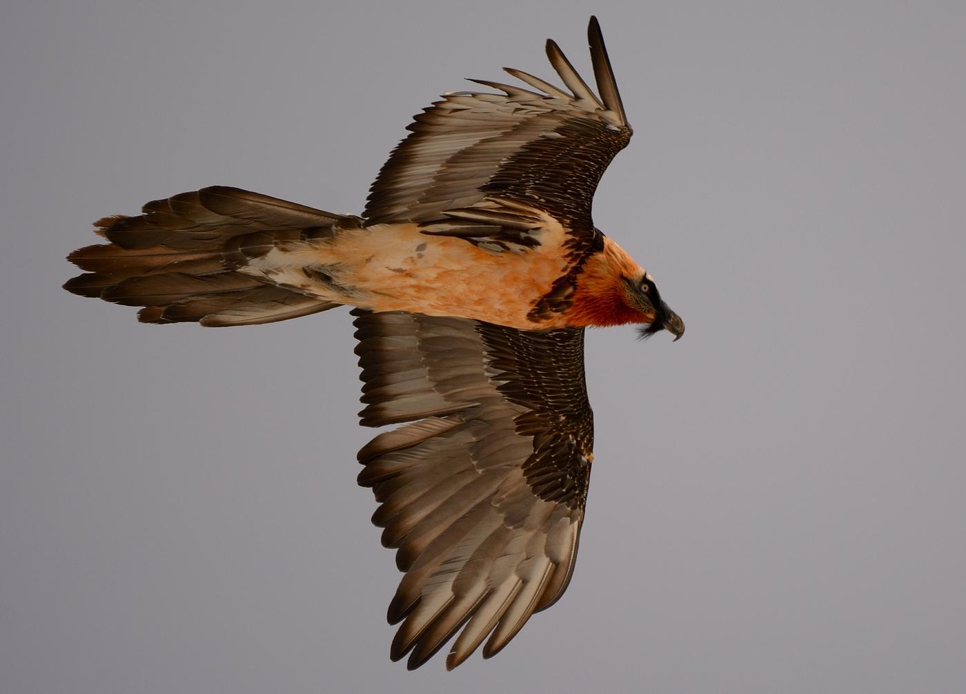 Bearded vulture....