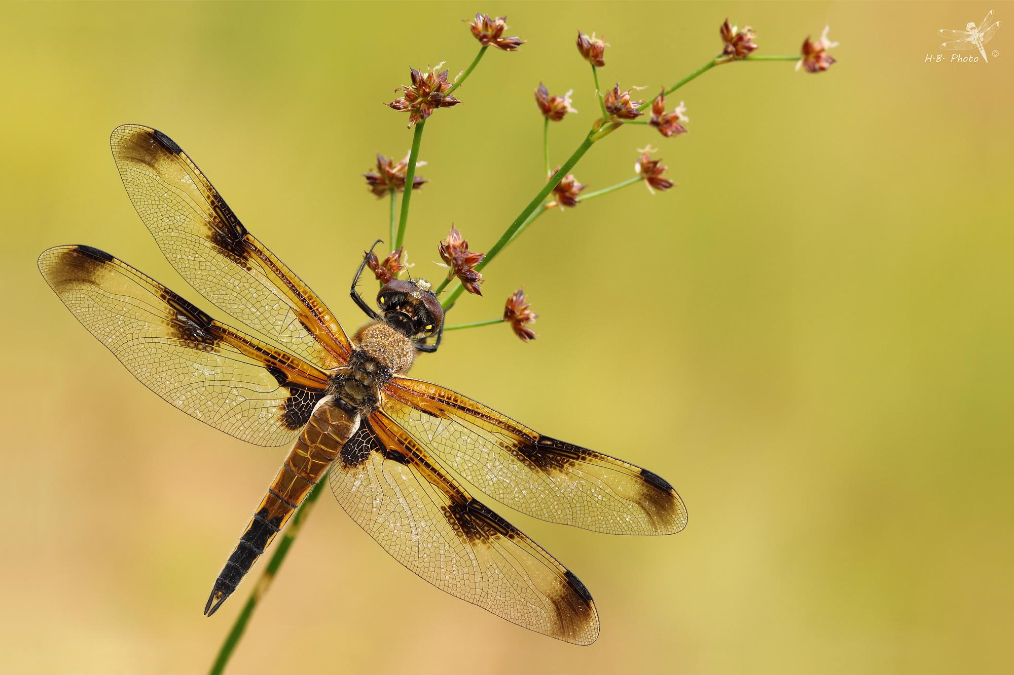 Libellula quadrimaculata, female...