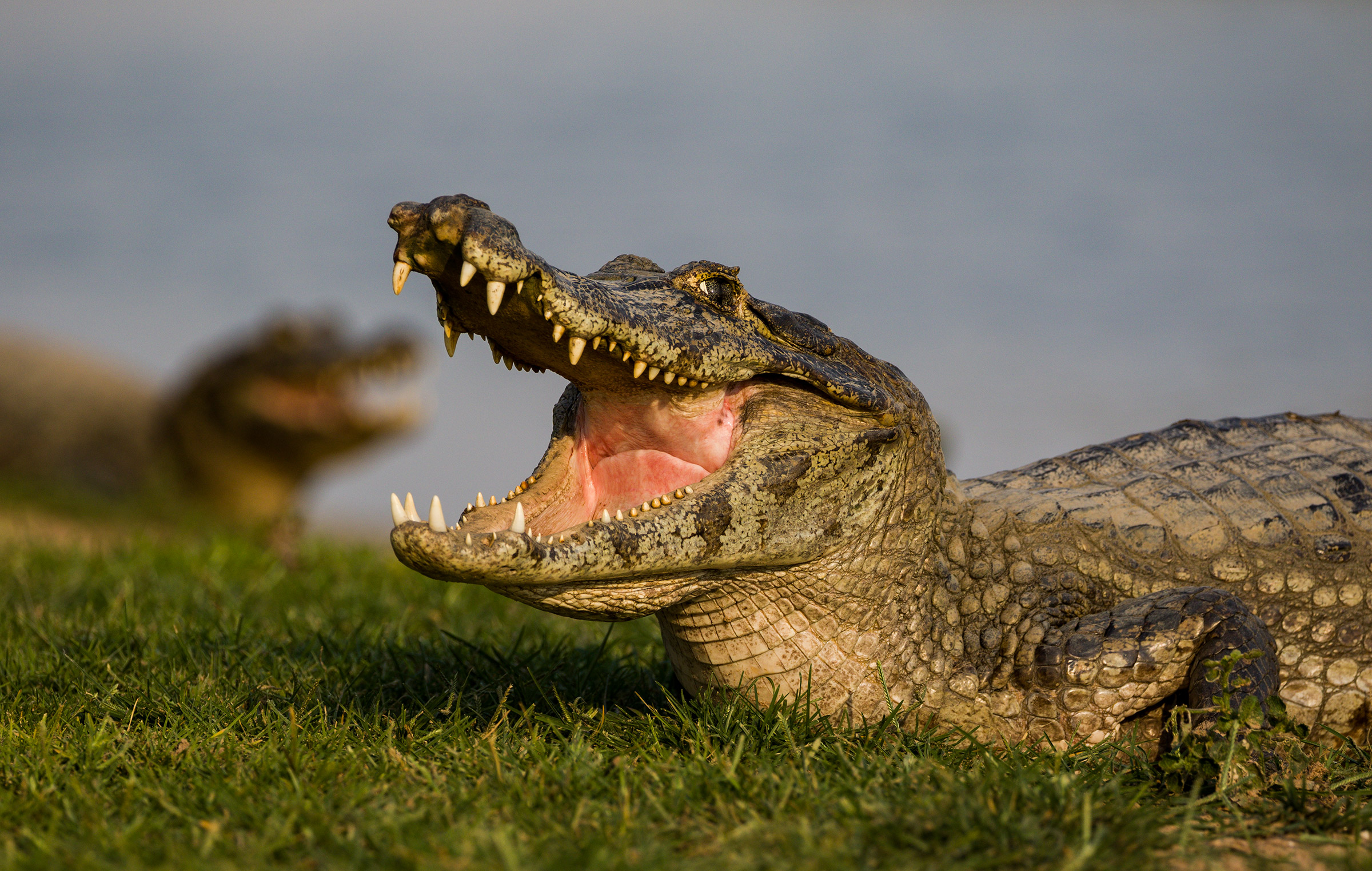 Face to face with the alligator...