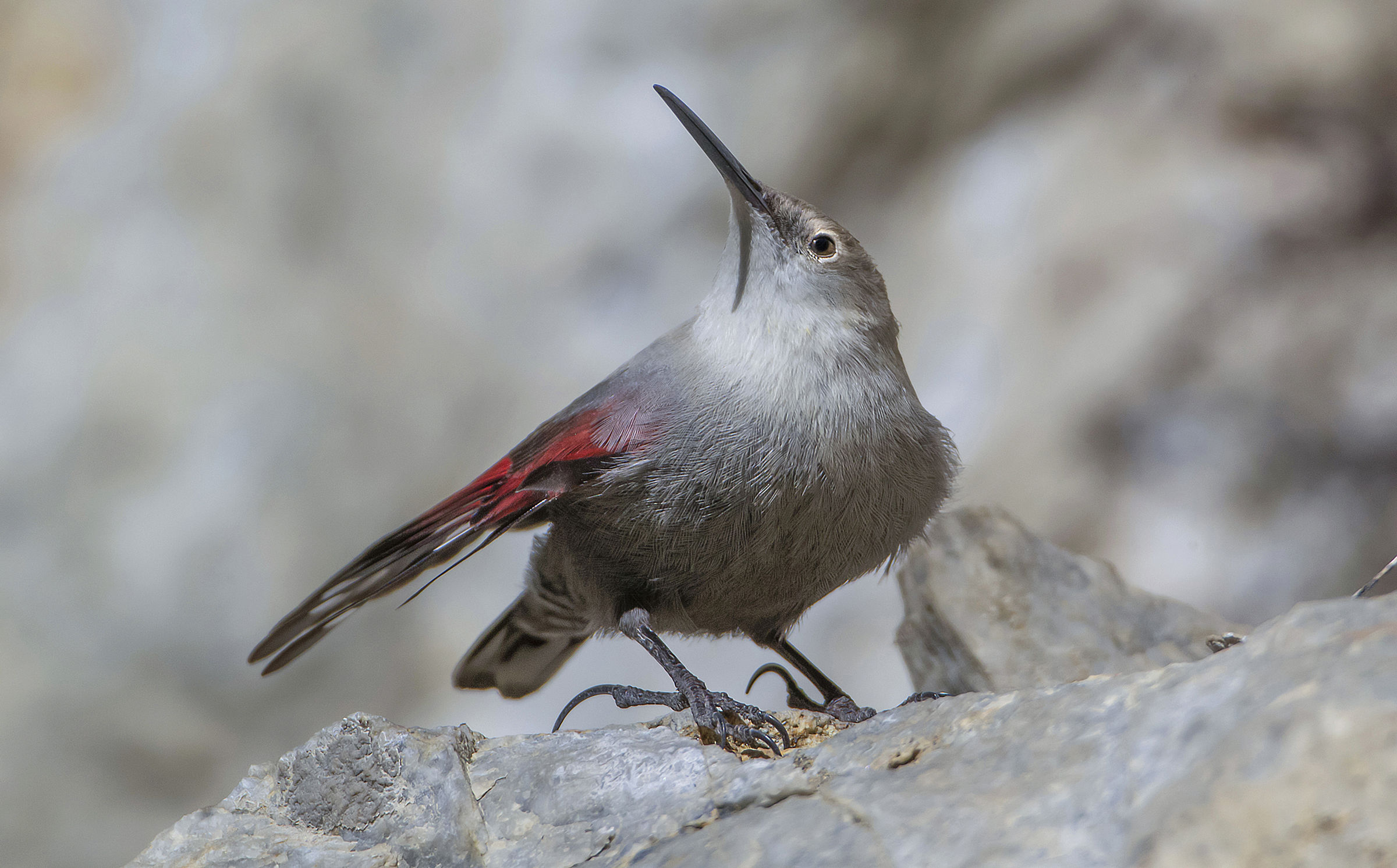 wallcreeper winter plumage...