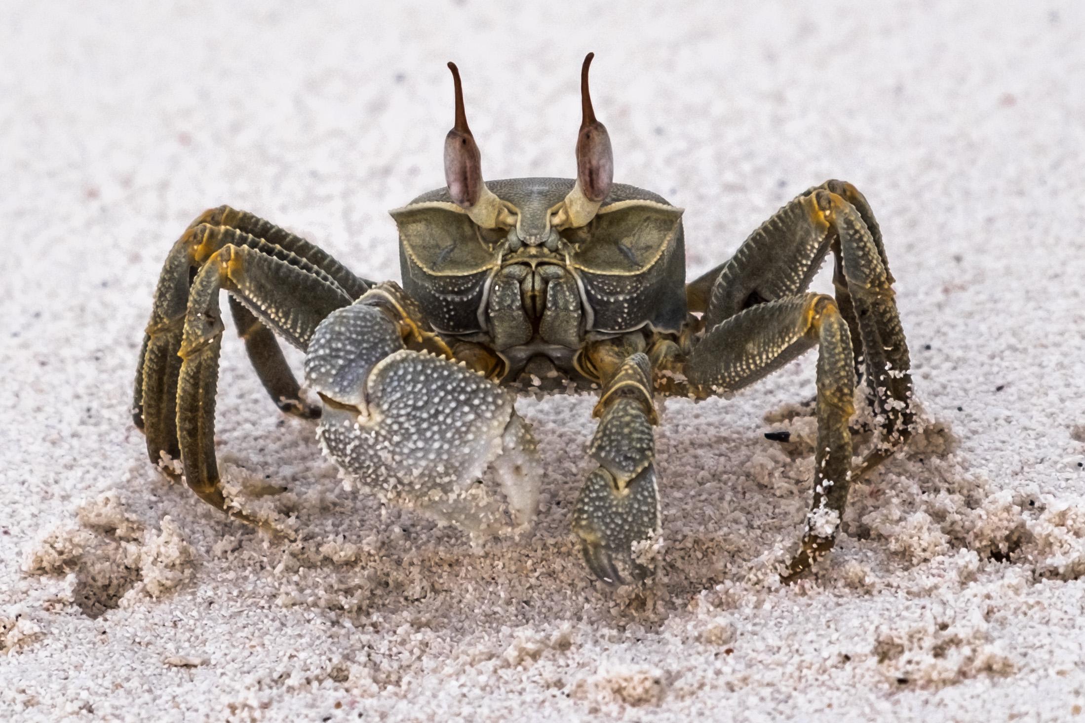 Maldivian crab...