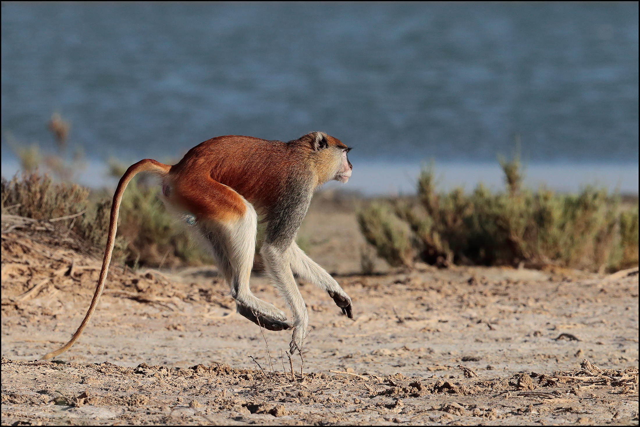 Monkey red Senegal...