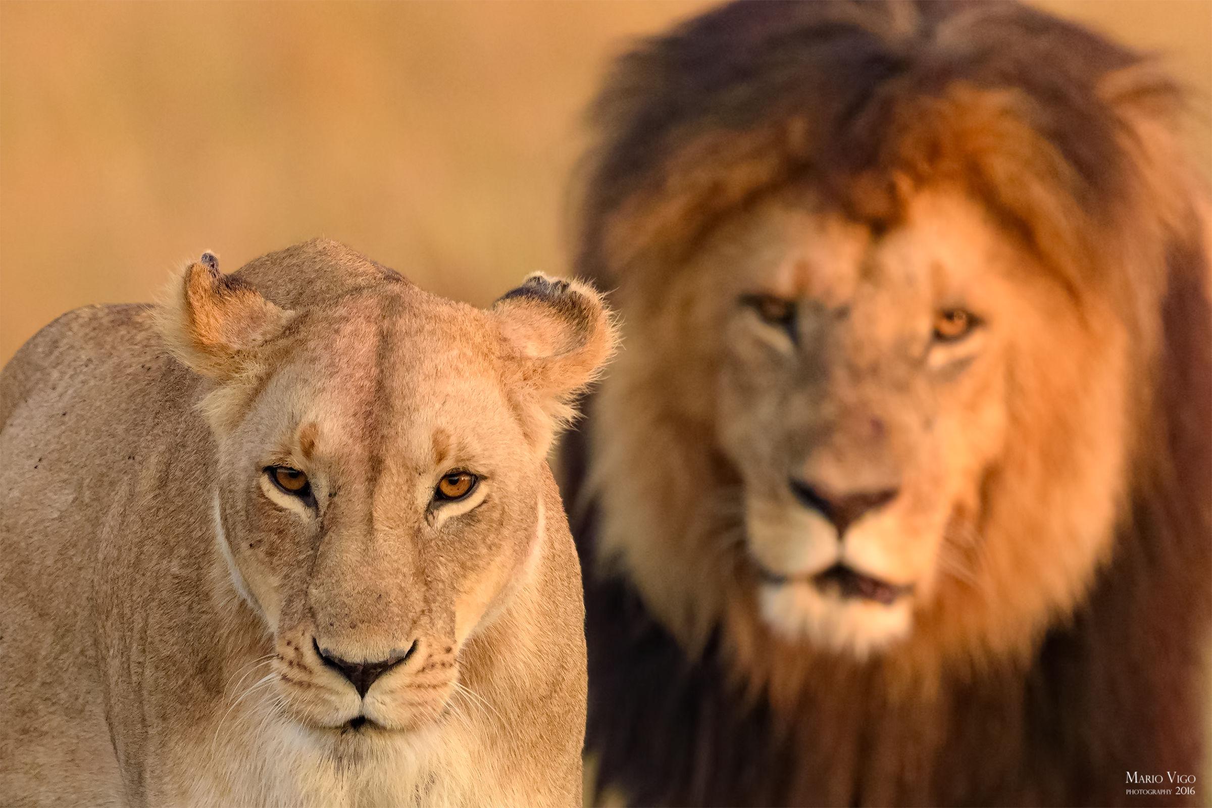 I Sovrani del Masai Mara...