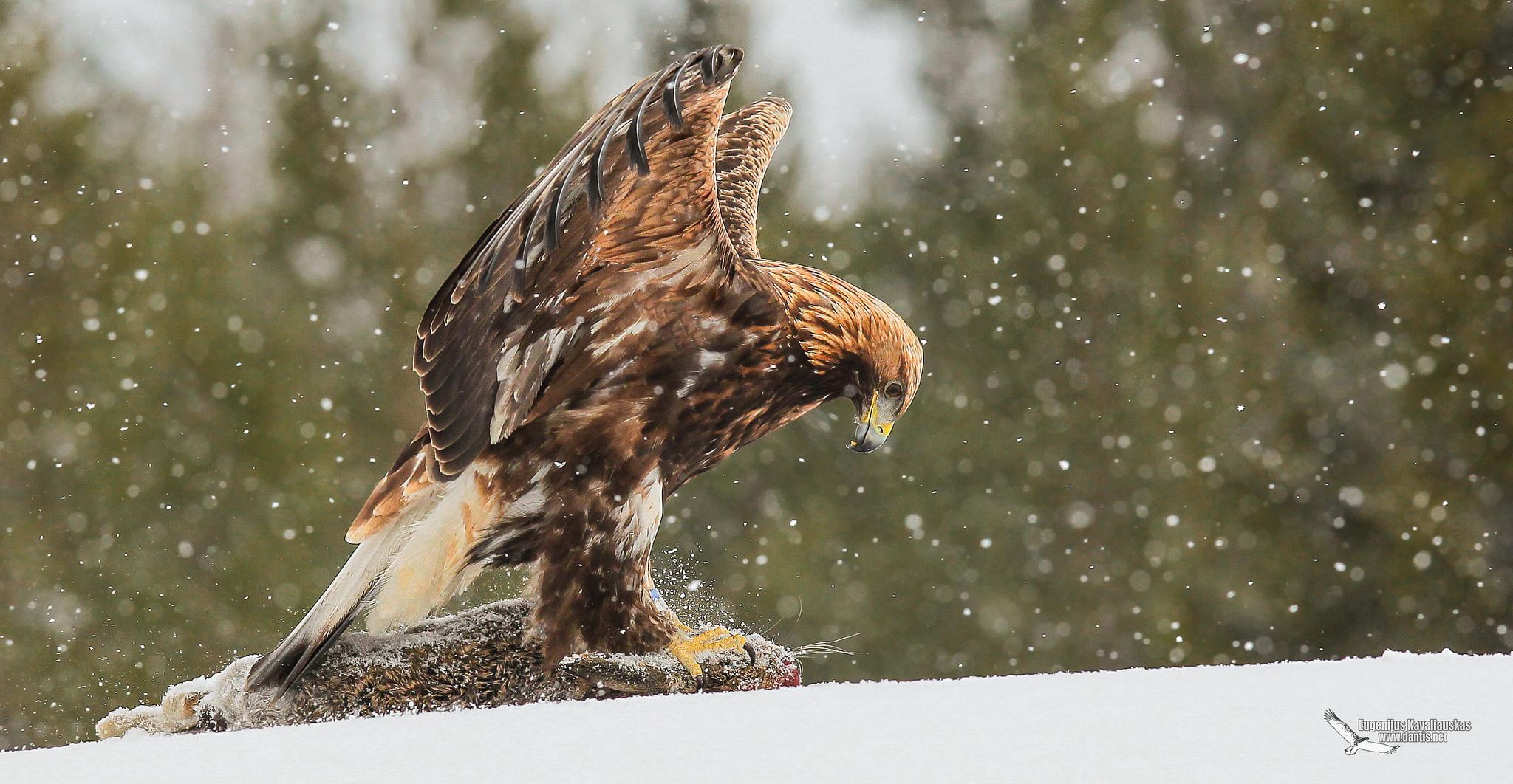 Golden Eagle  (Aquila chrysaetos)...