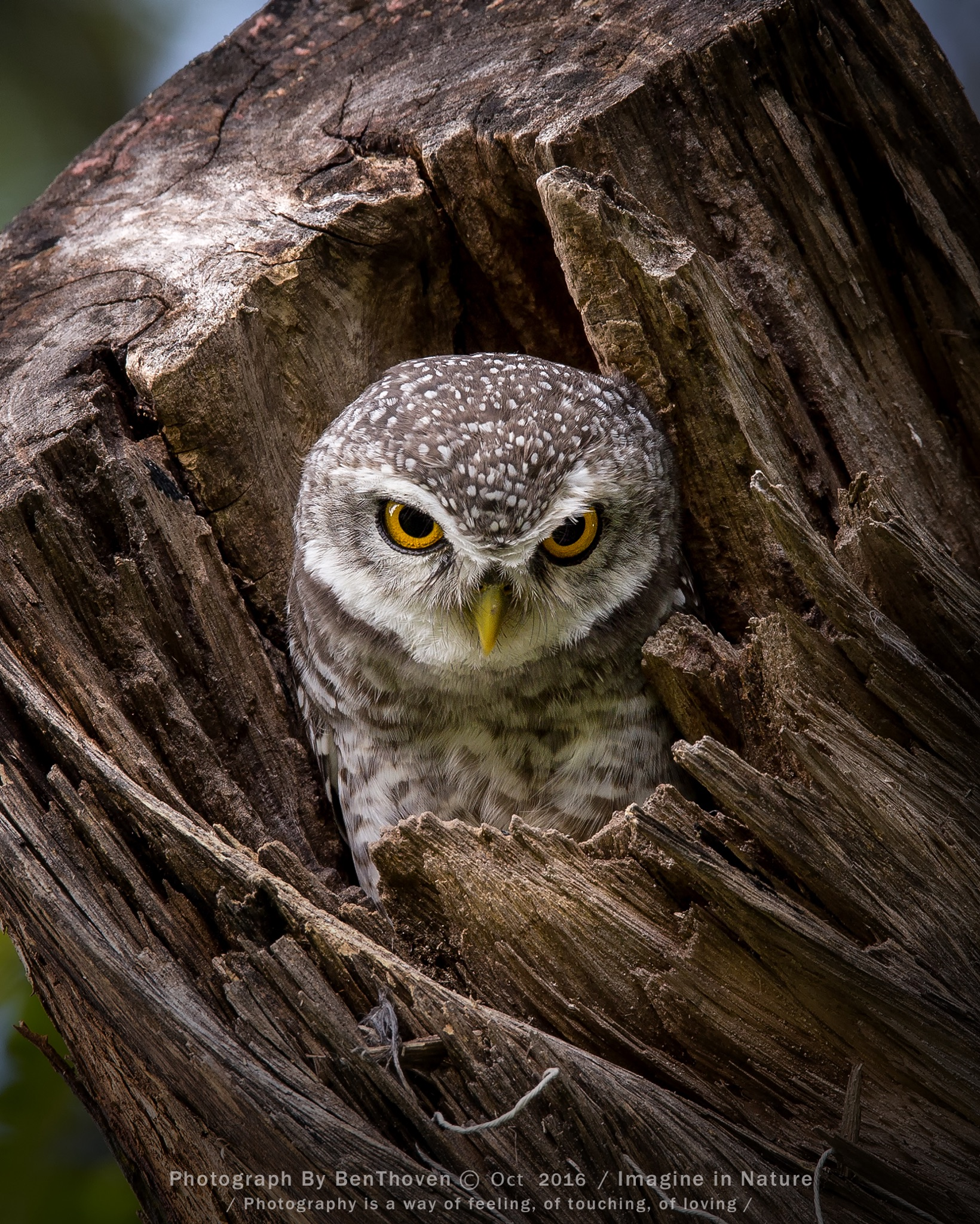 owlet Spotted...