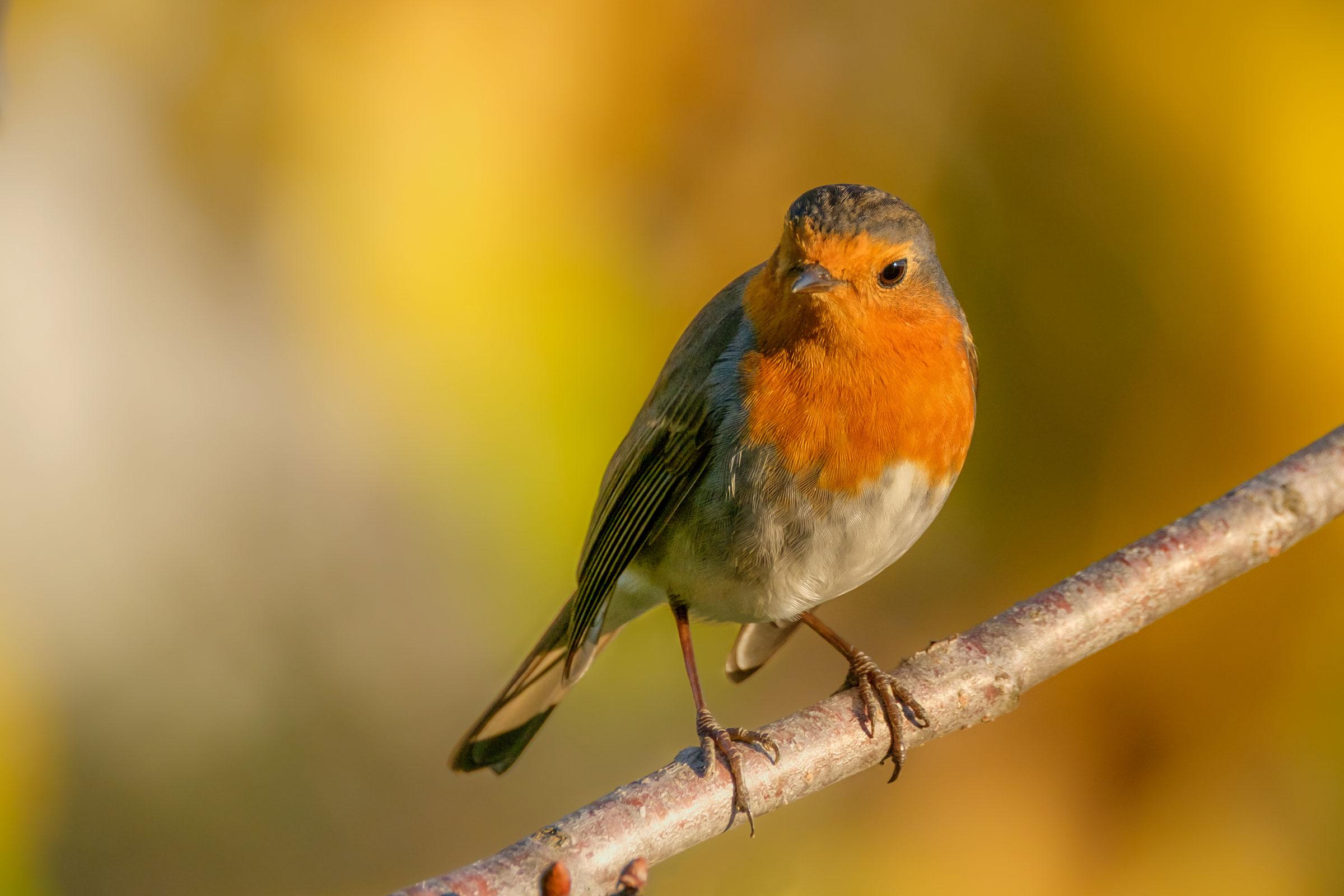 Robin at sunset...