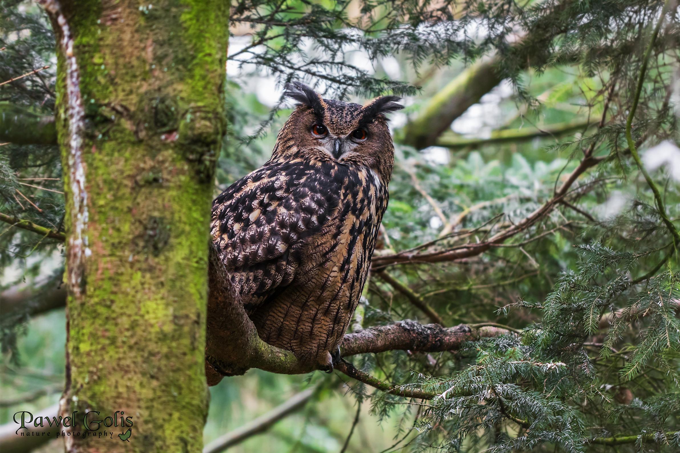 Eurasian eagle-owl (Bubo bubo)...