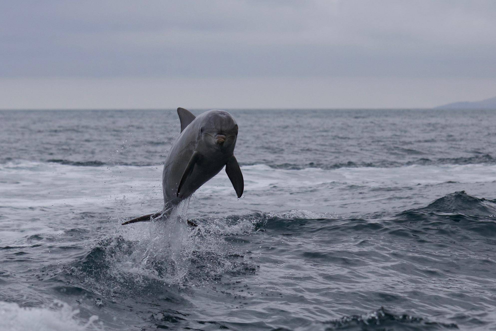 Delfino (Kangaroo Island)...