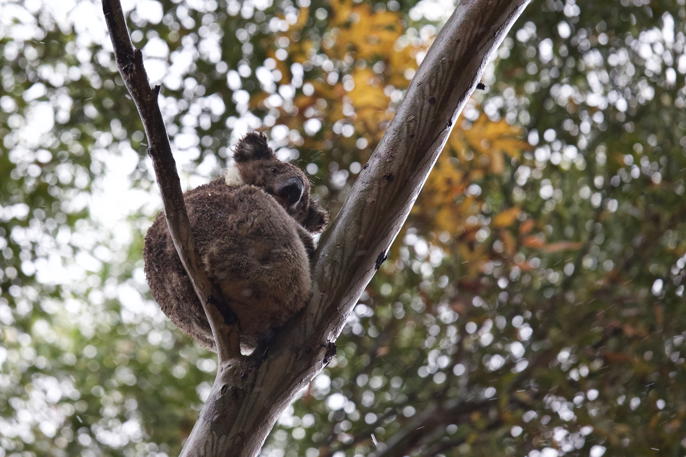 Koala tightrope (in the rain)...