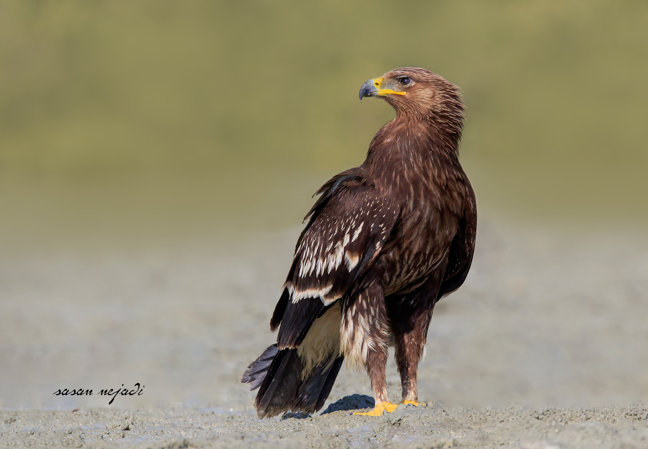 Greater spotted eagle...