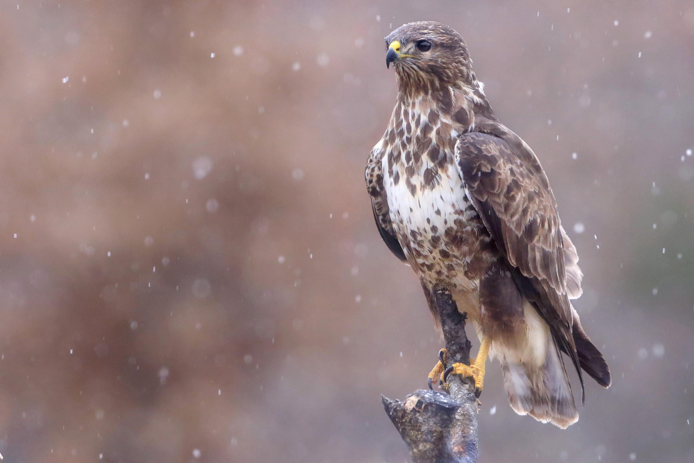 Buzzard in the snow...