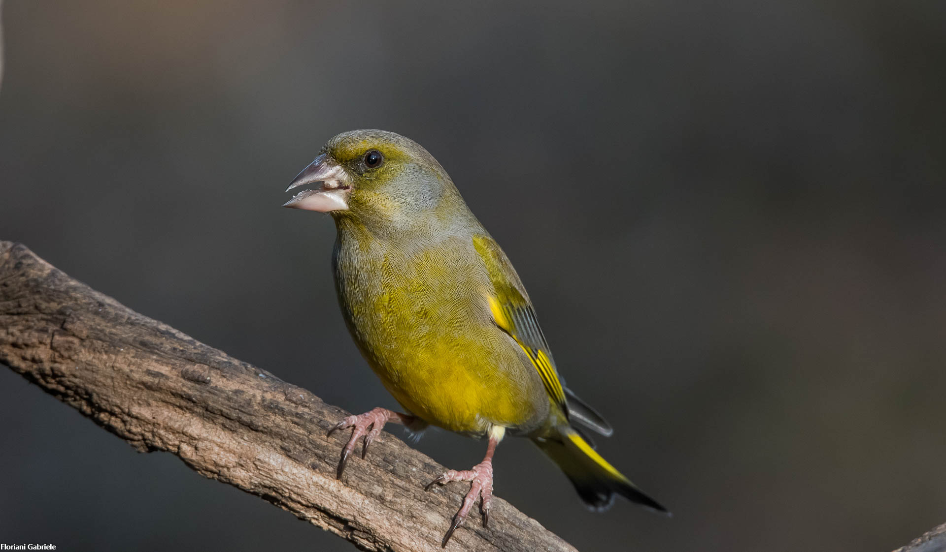 greenfinch...