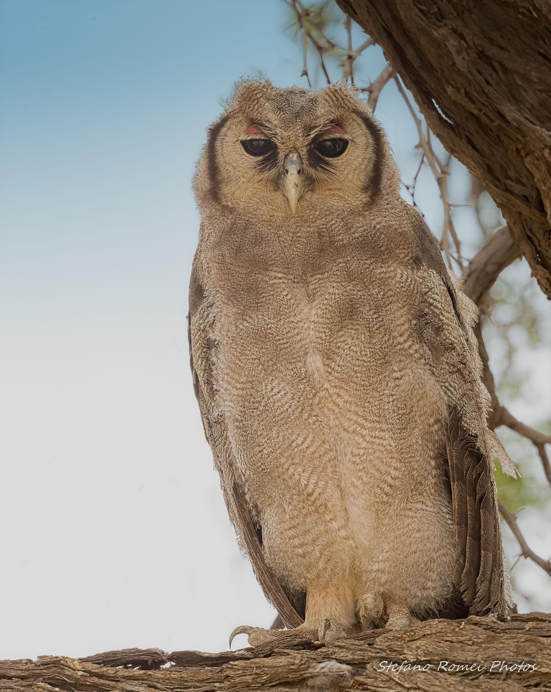 giant eagle owl...