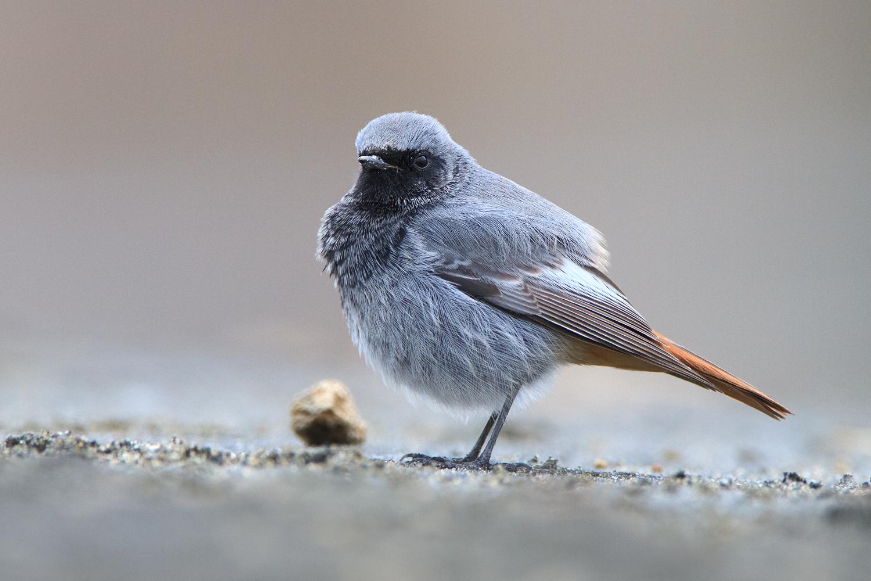 Black Redstart male...