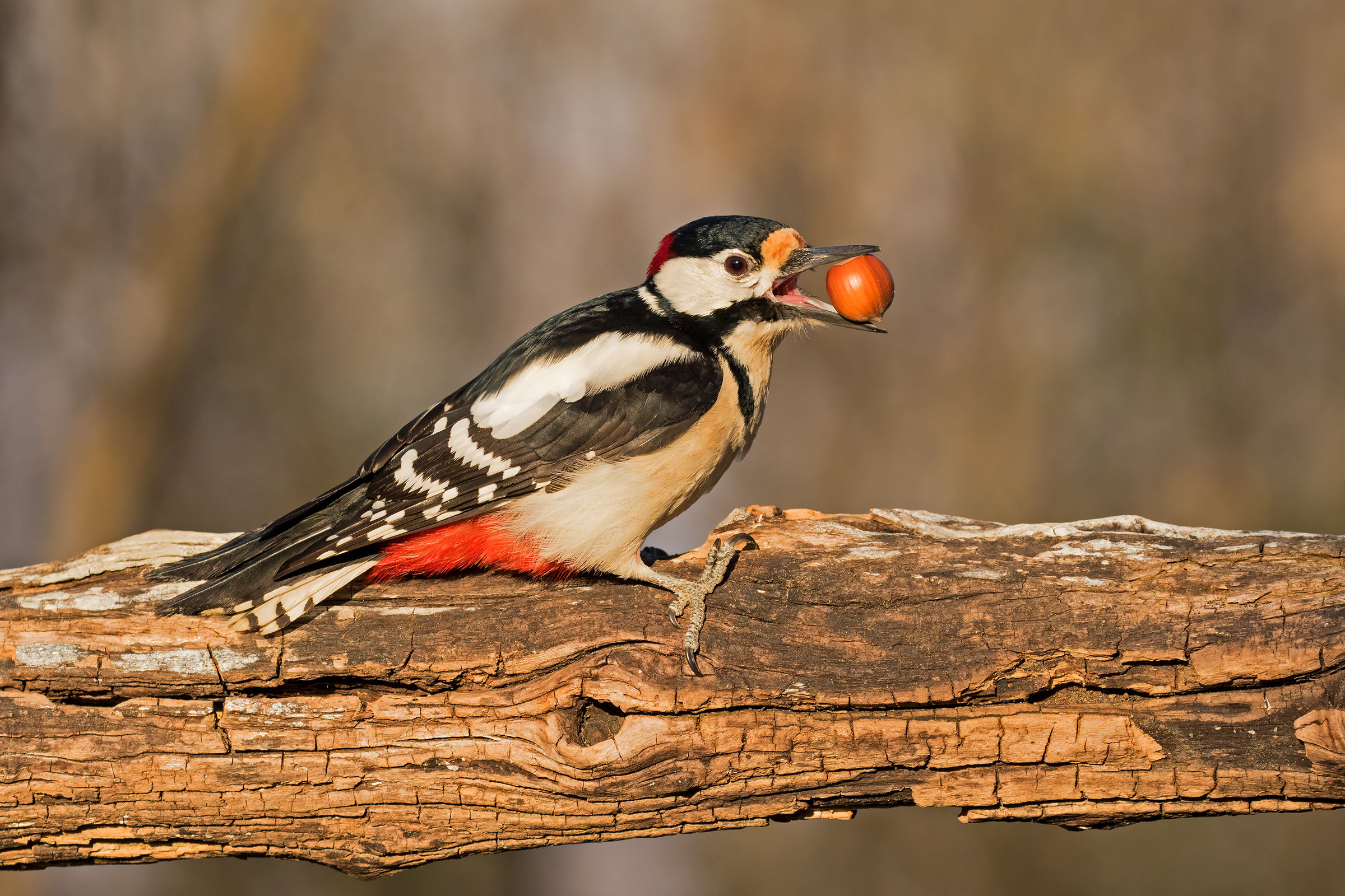 Great Spotted Woodpecker...