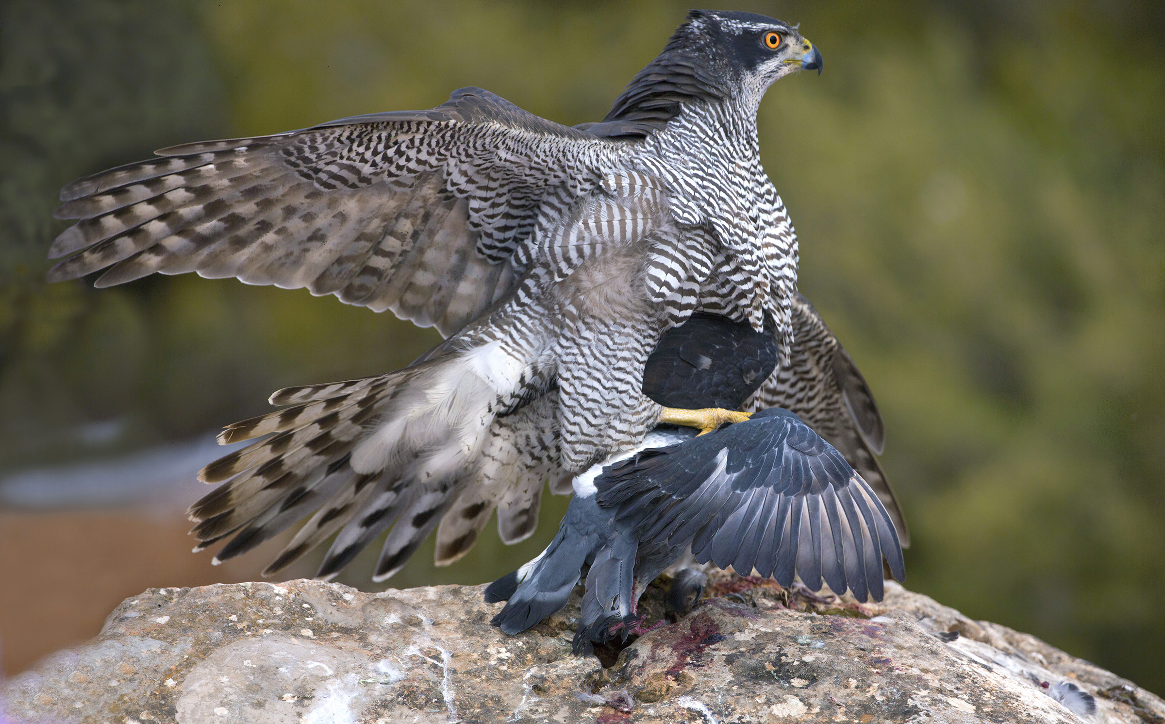 predation goshawk...