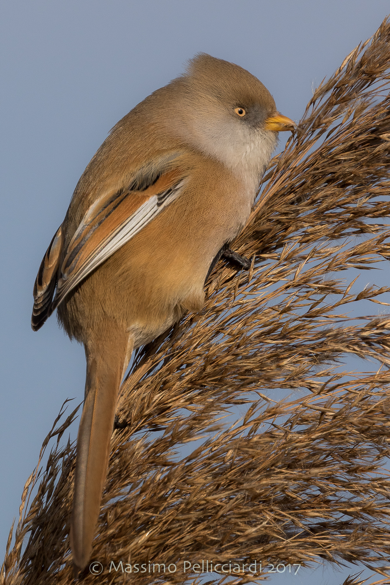 The meal of the Bearded Tit...