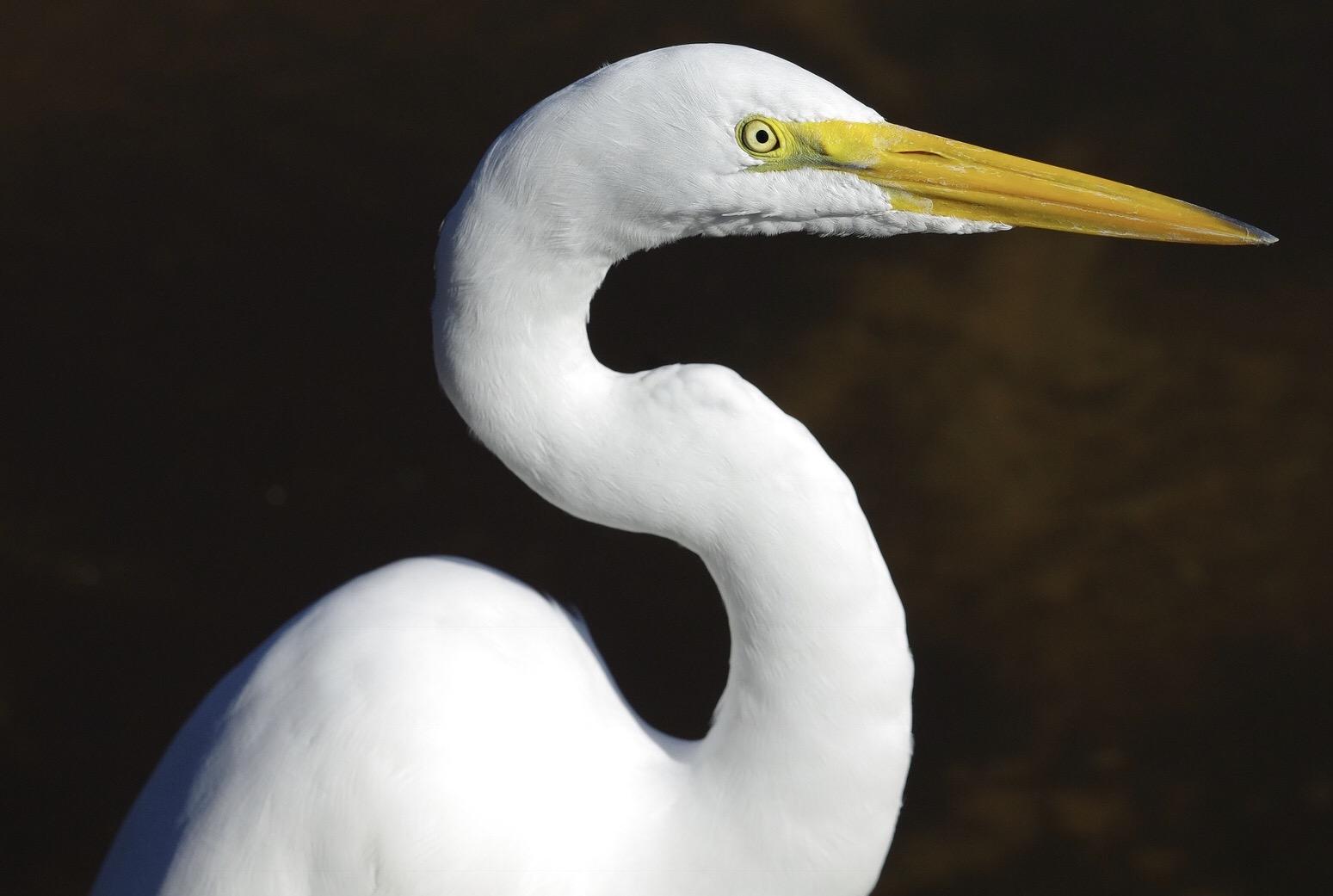 Egret....
