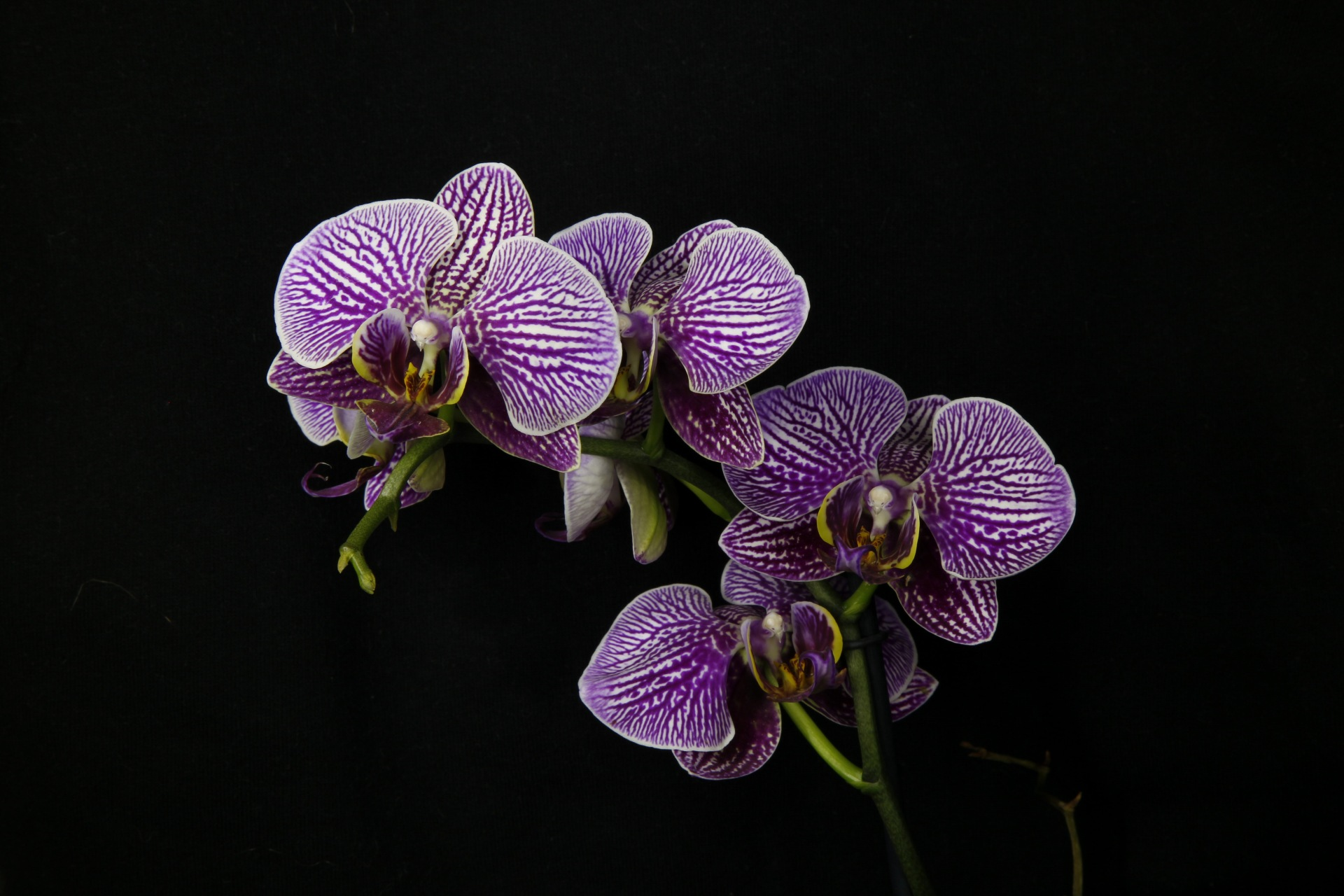 The wife of orchids...