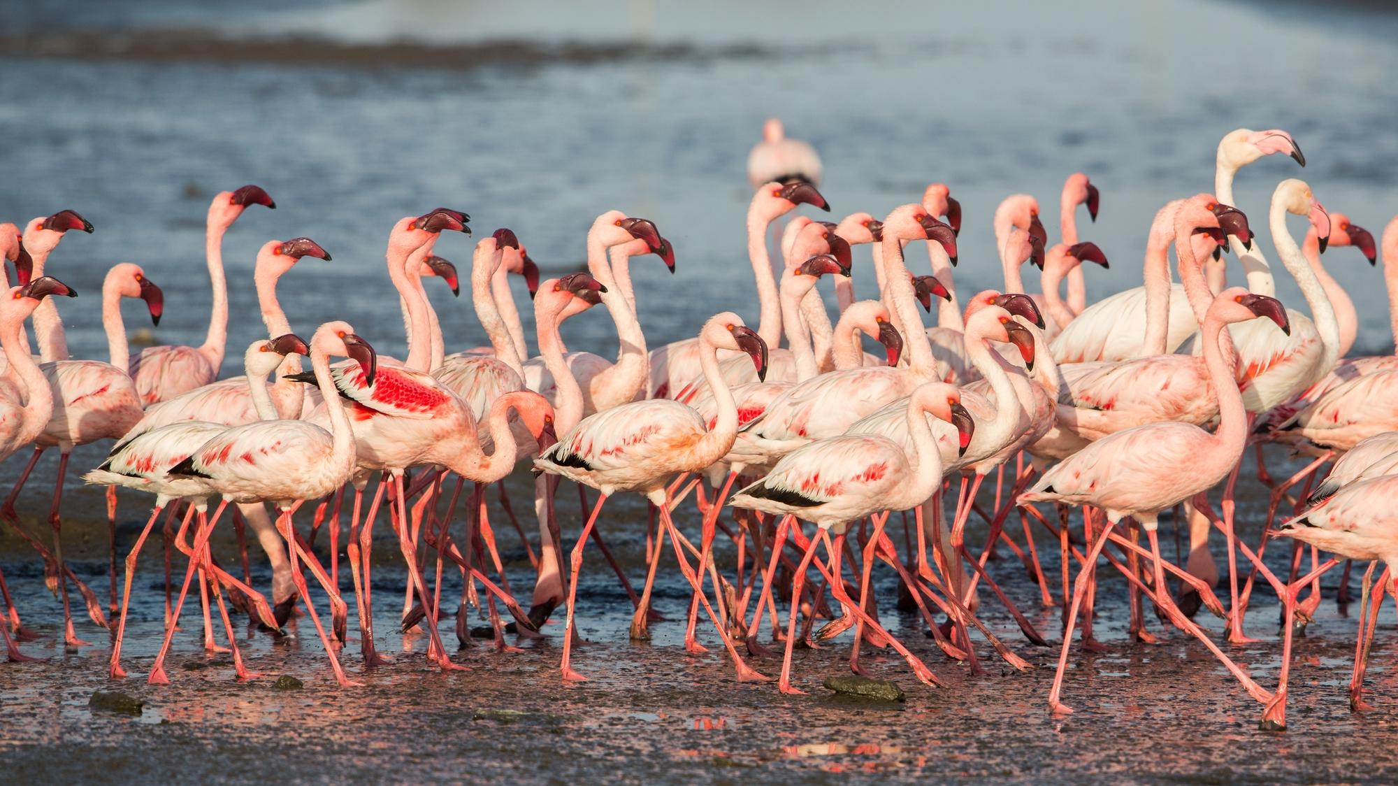 Gruppo di Fenicotteri minori, Walvis Bay...