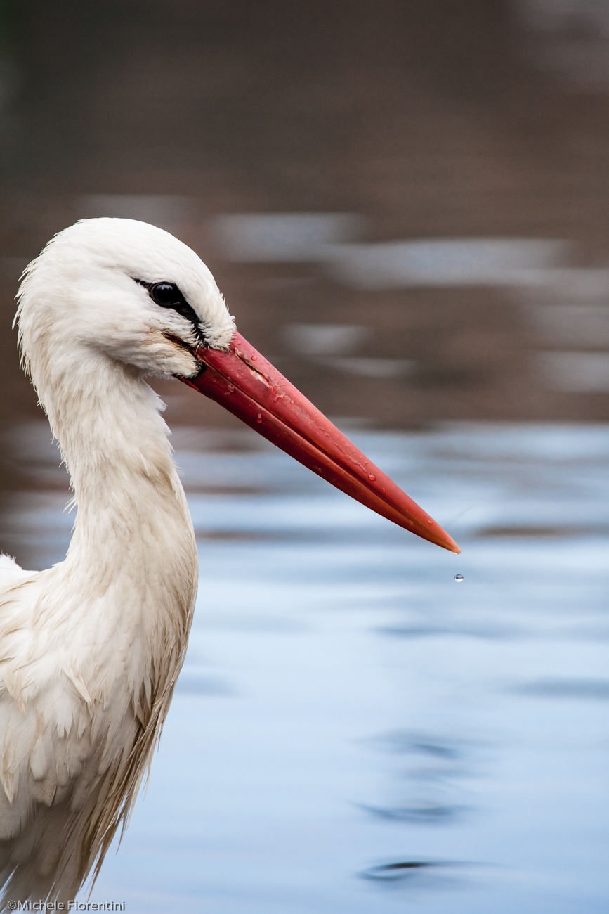 Portrait of white stork...