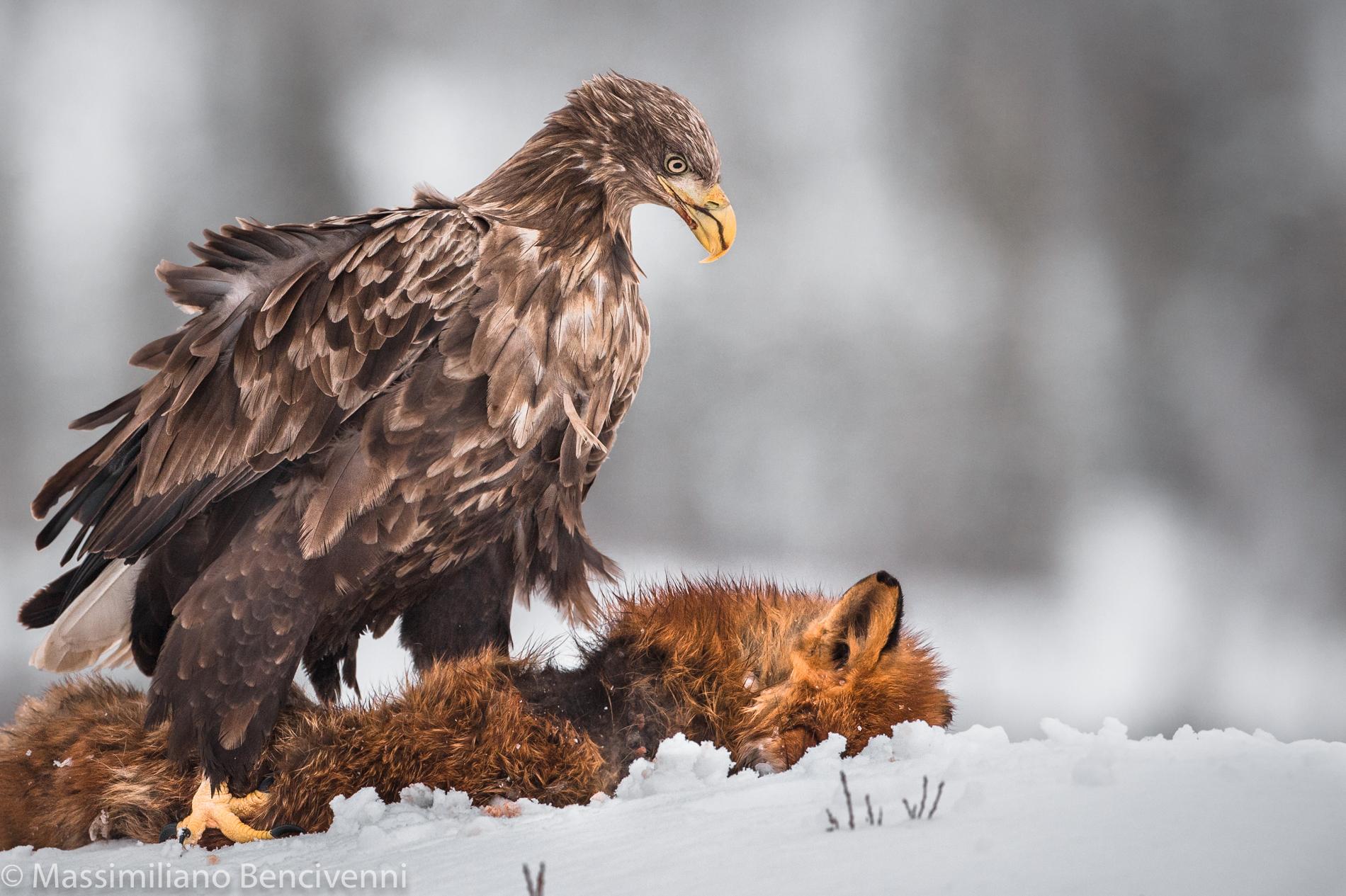Eagle and Fox...
