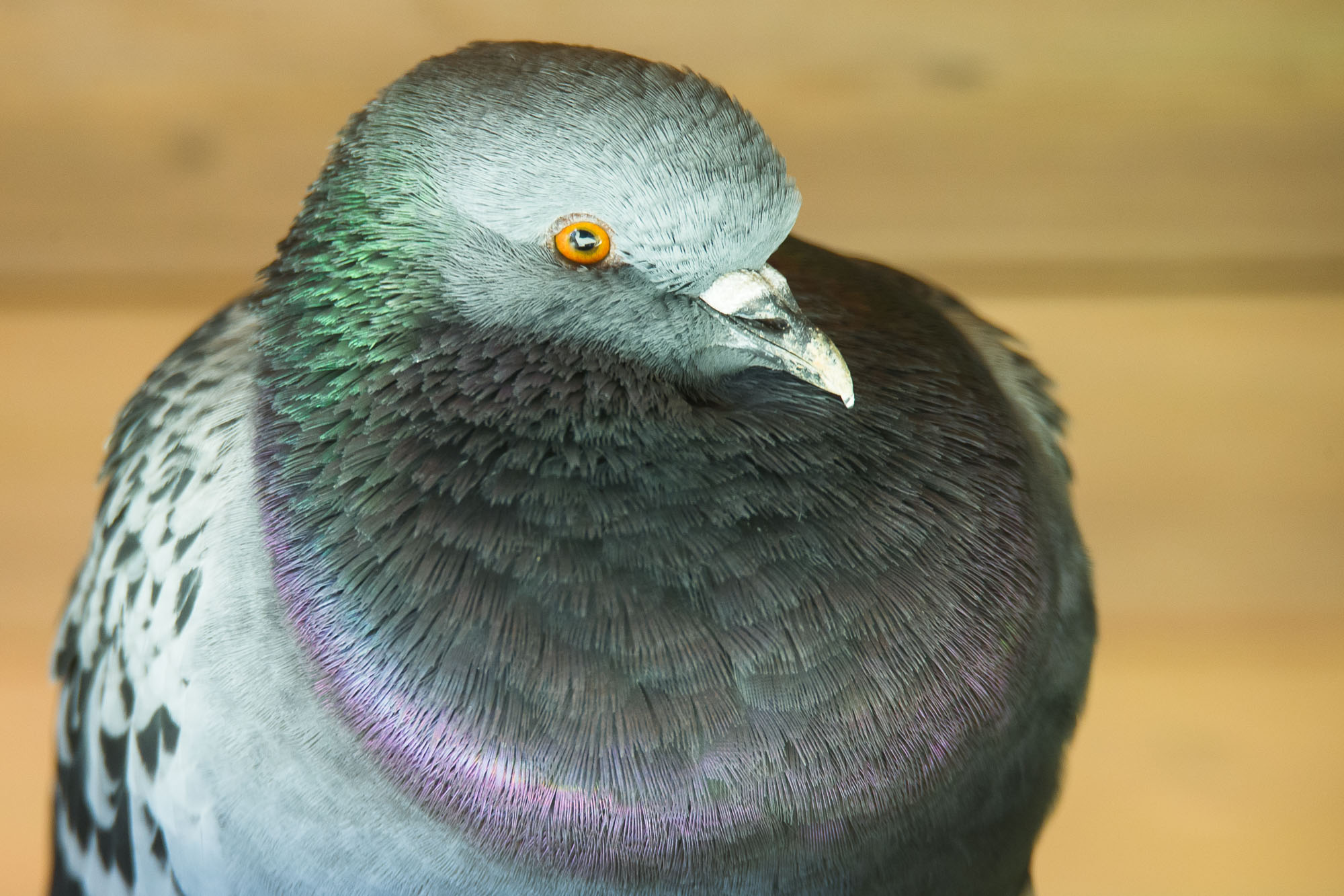 The pigeon sullen 02...