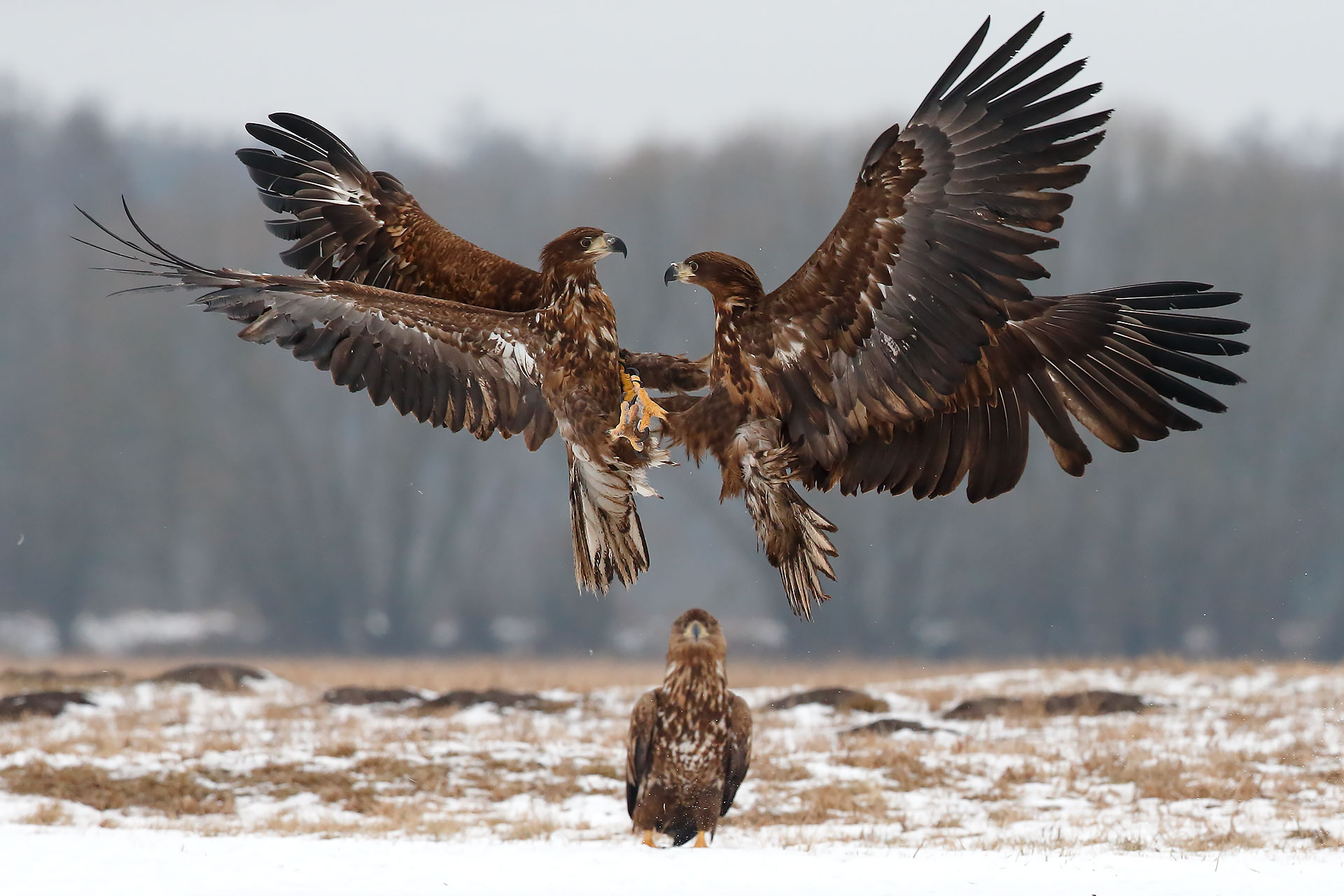 sea ??eagles...