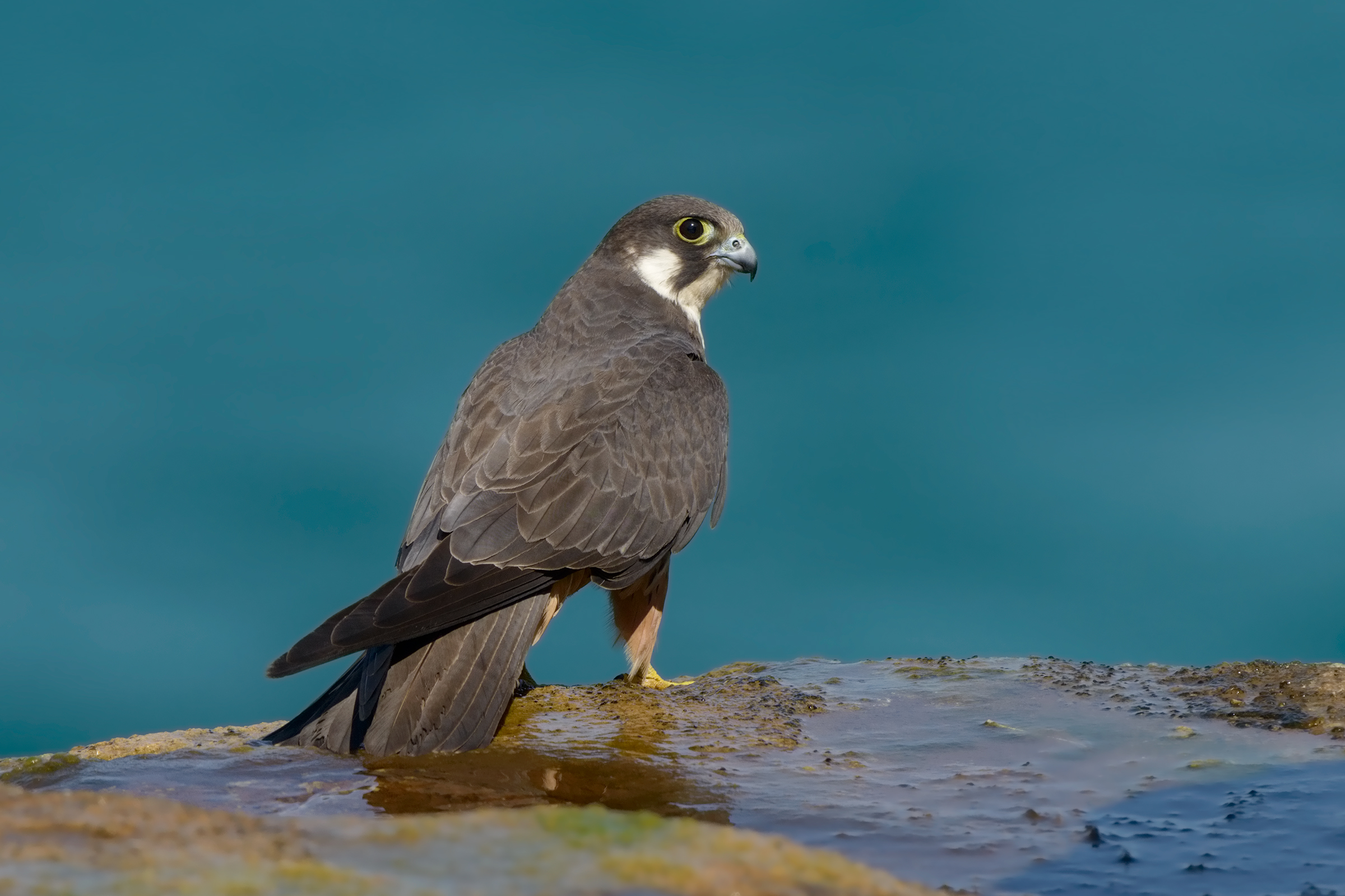 portrait of Eleonora's falcon...