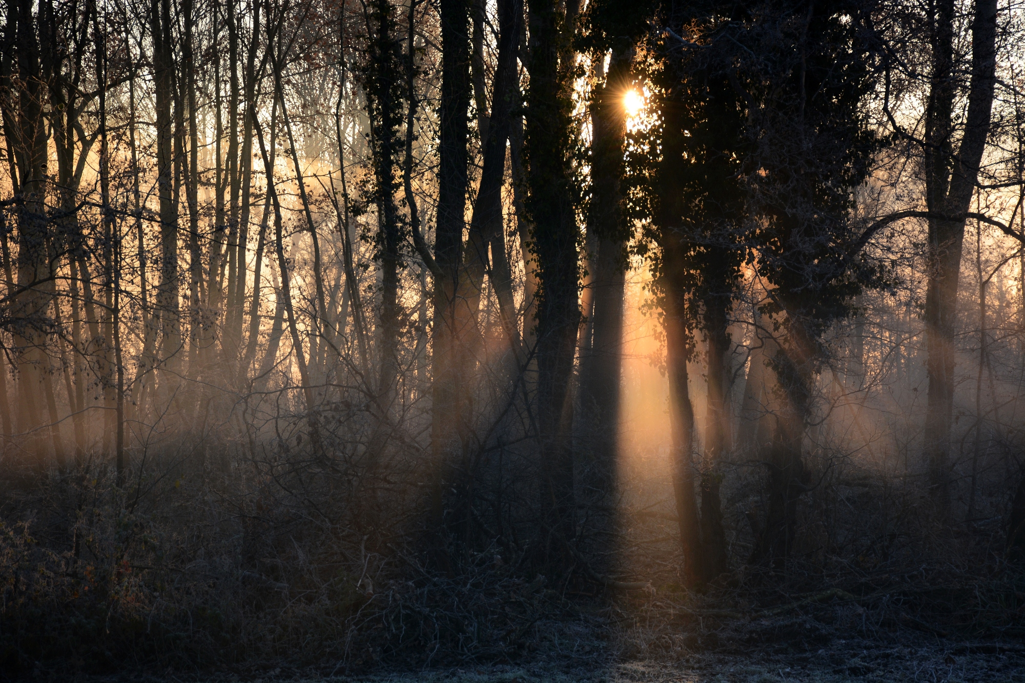 rays in the woods .....