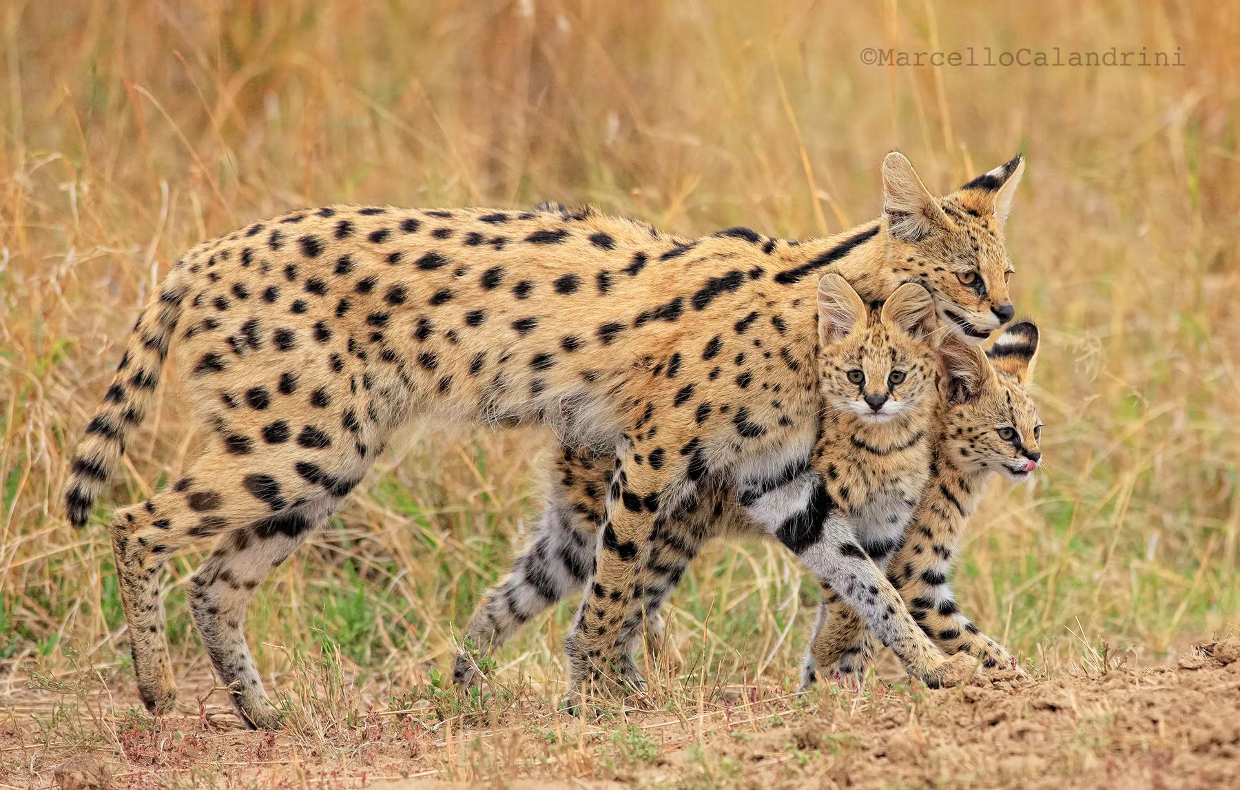 serval family...