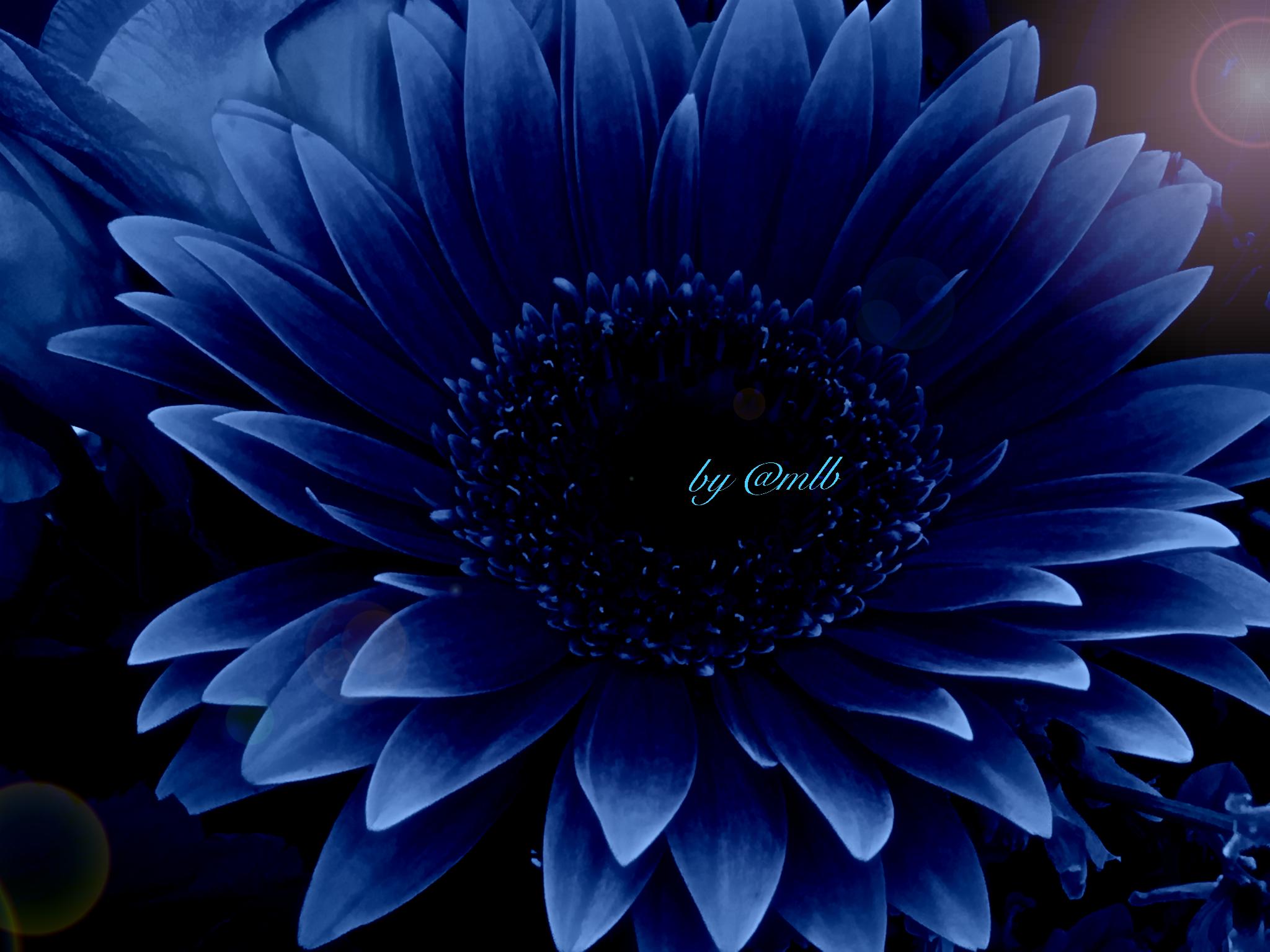 Картинки синие герберы