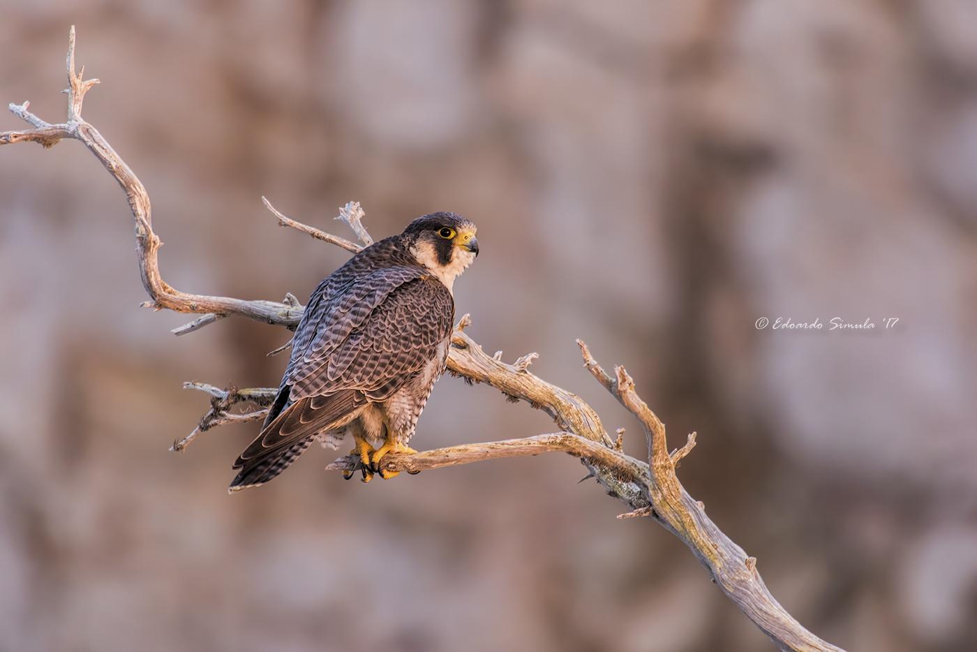 Falco pellegrino (maschio)...