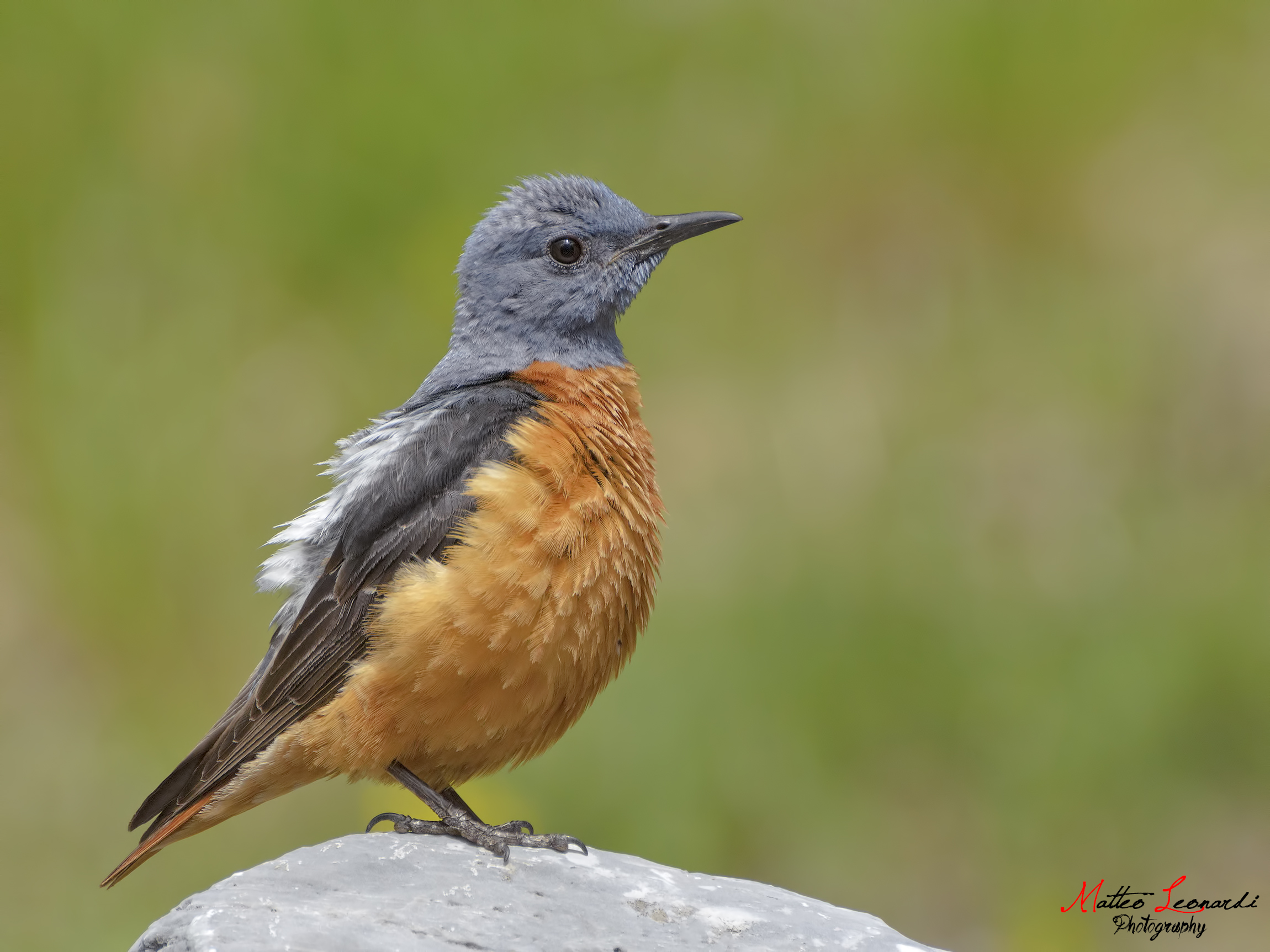 Male redstart - Apuan Alps...