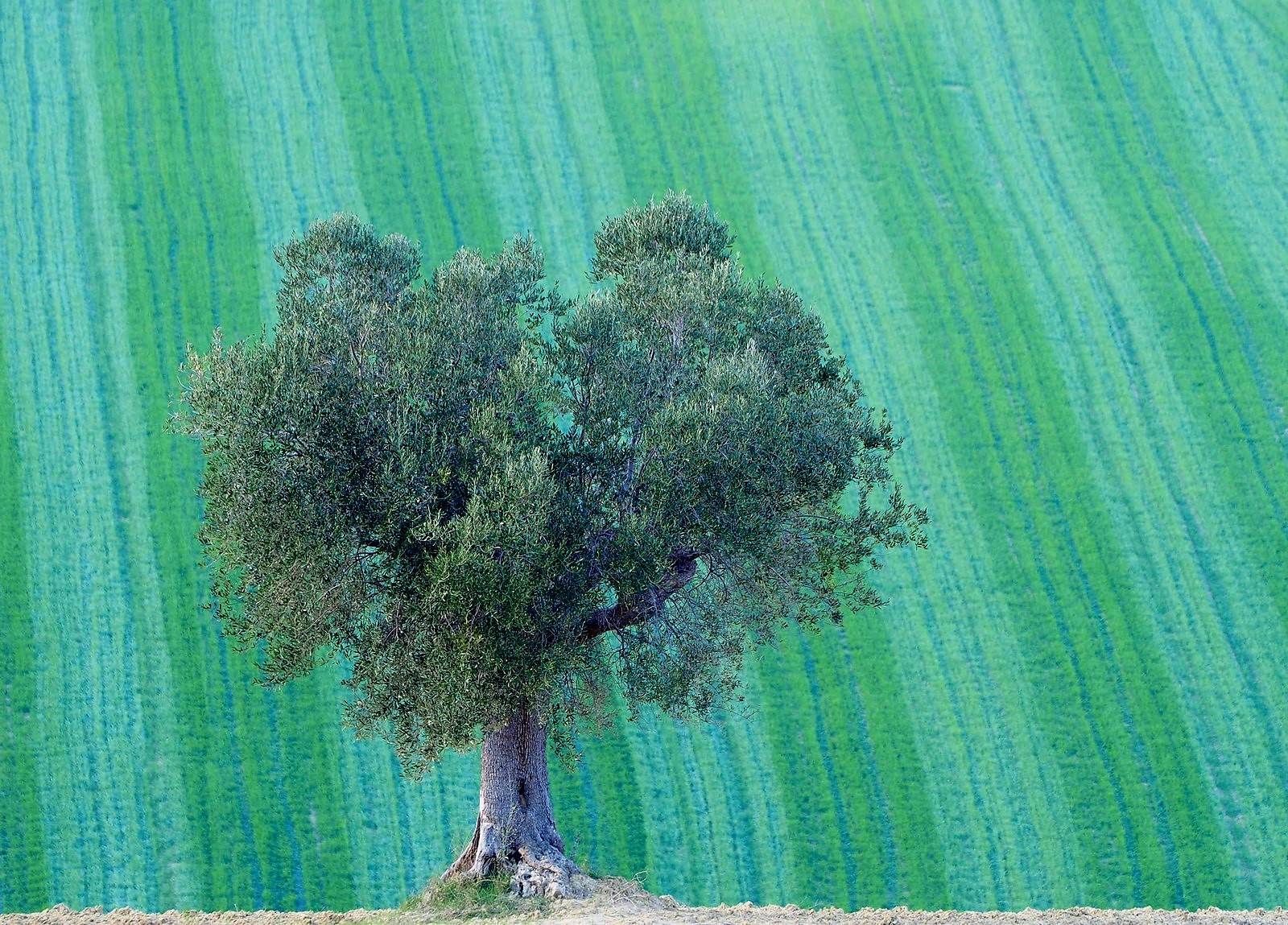 Olive tree on striped background...