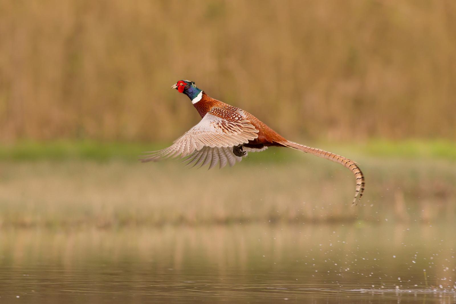 The Pheasant...