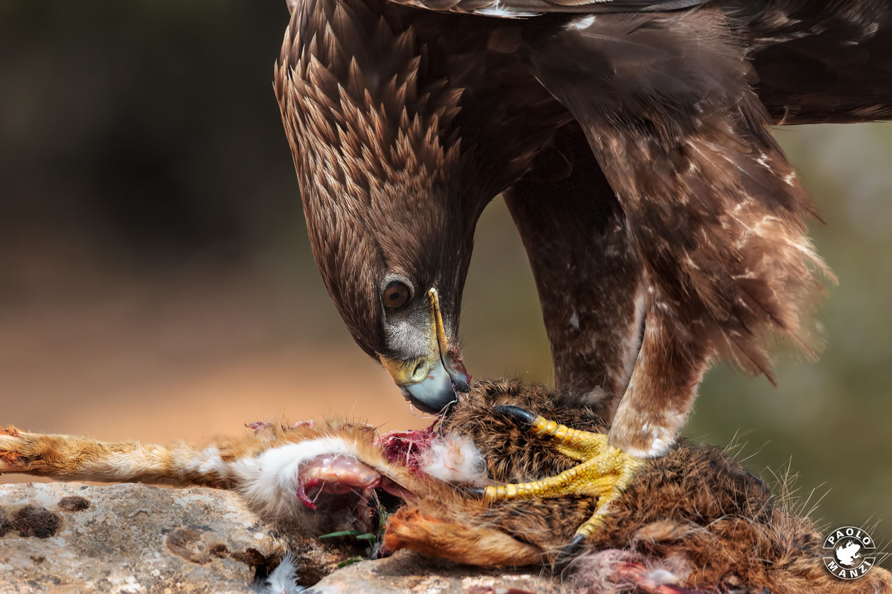 The golden eagle meal...