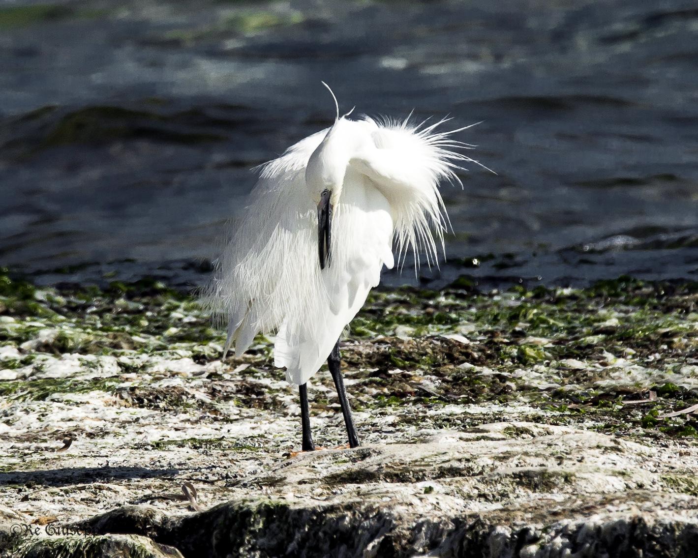 An Egret vain...
