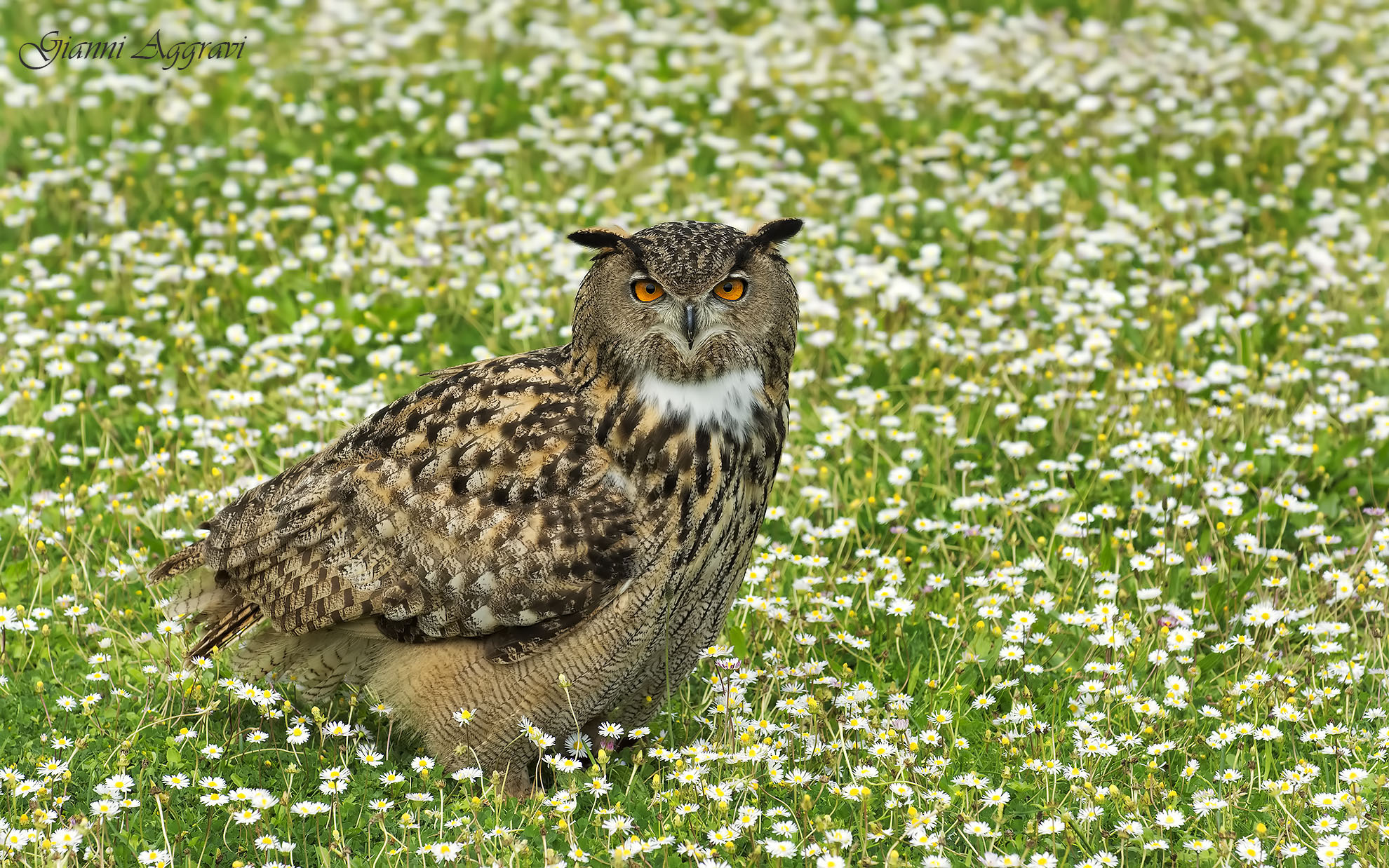Eagle Owl (Bubo Bubo)...
