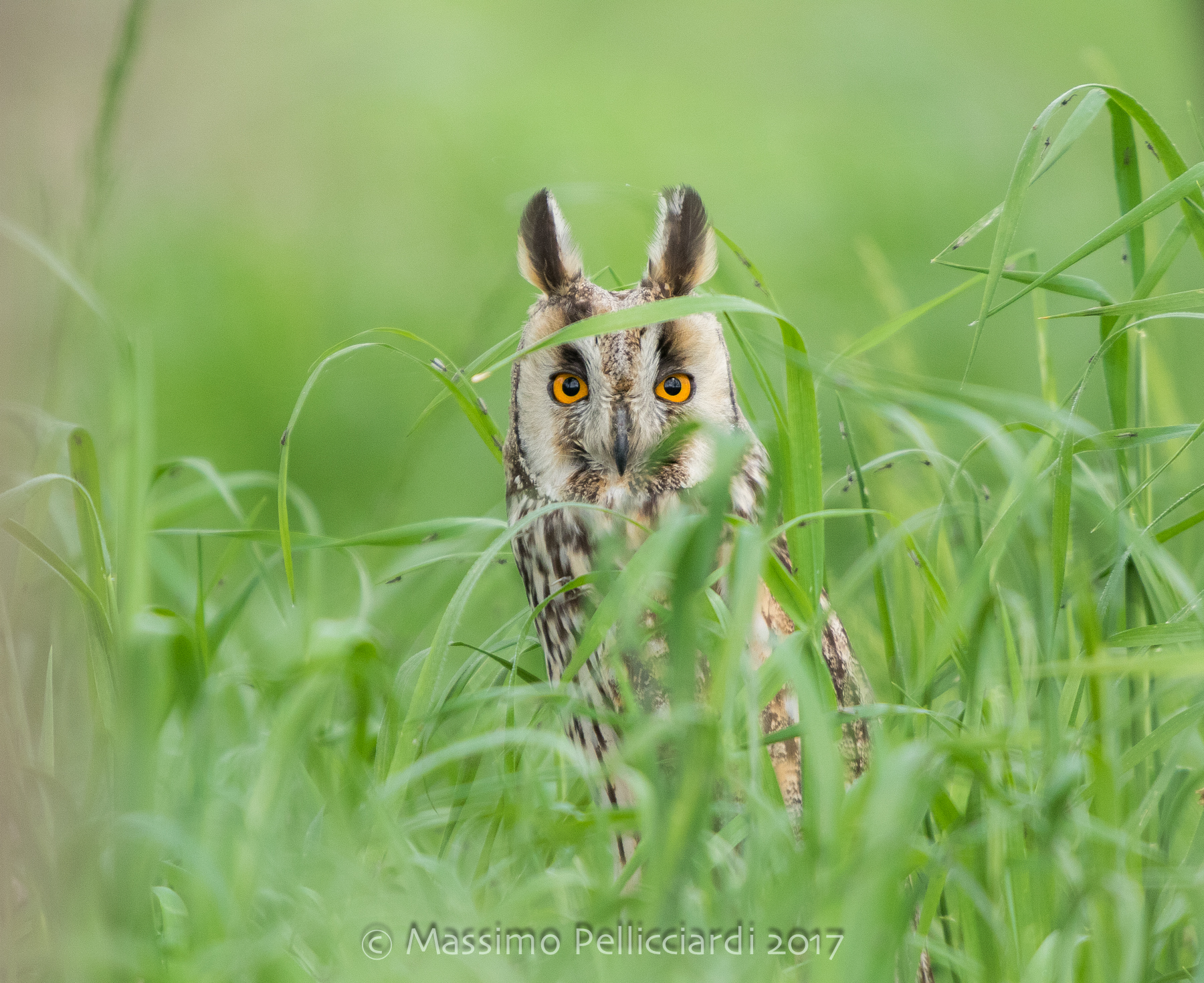 My first long-eared owl...