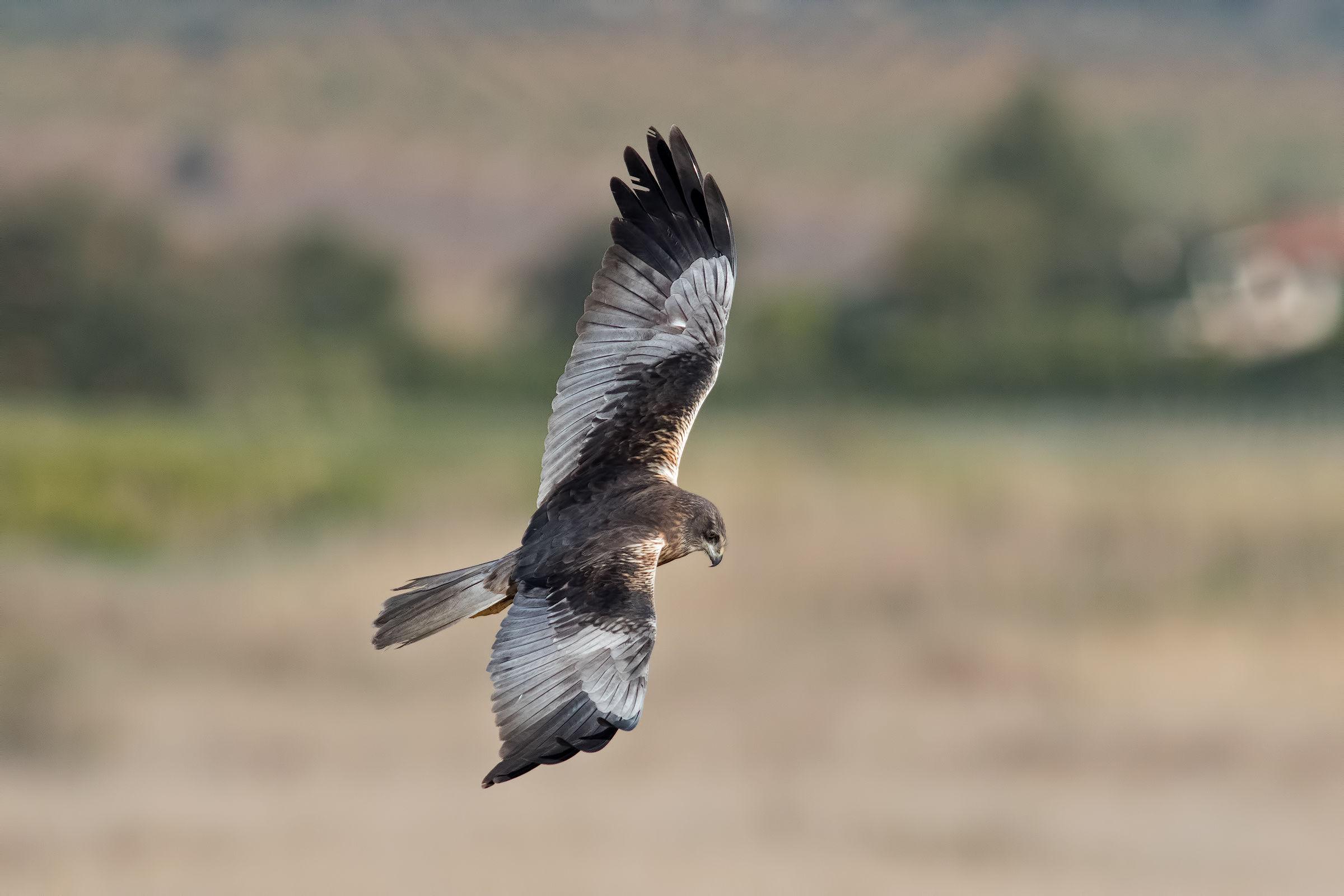 Falco di palude maschio...