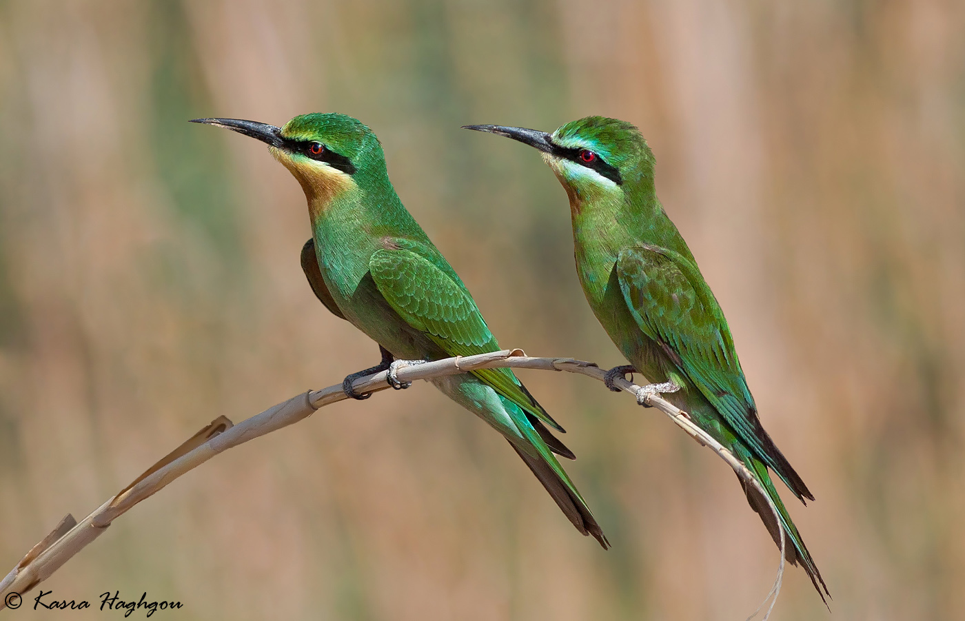 Persian Bee-eater...