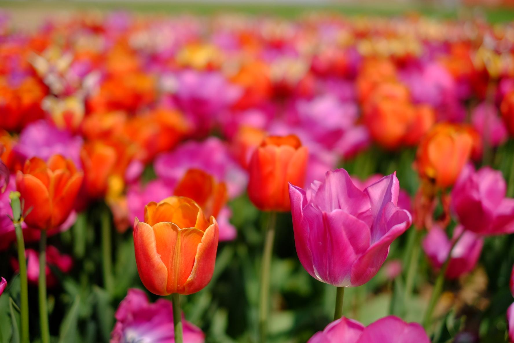 Campo di tulipani...