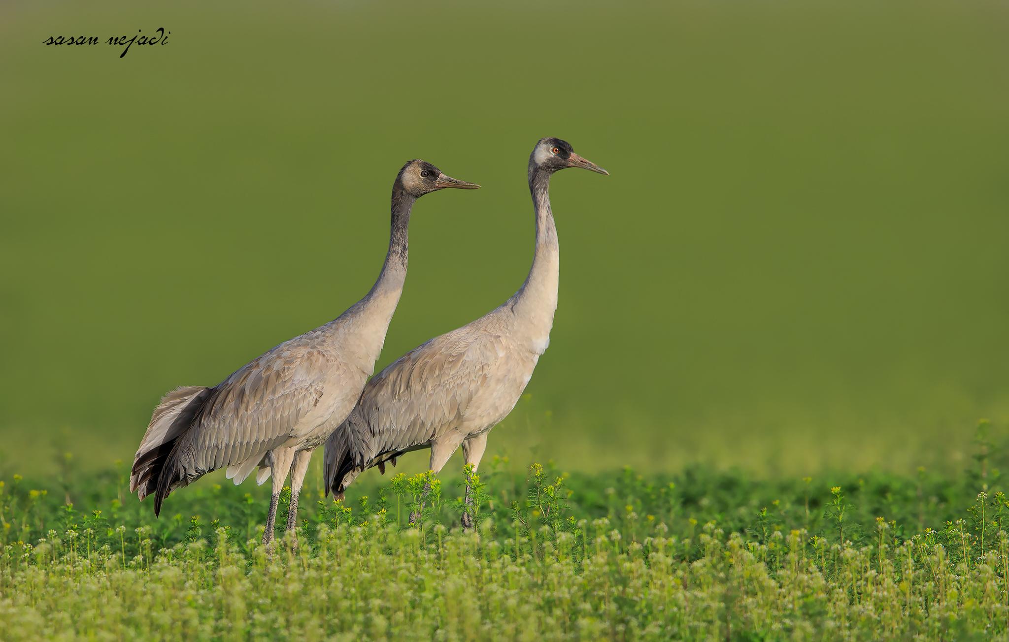 Common crane...