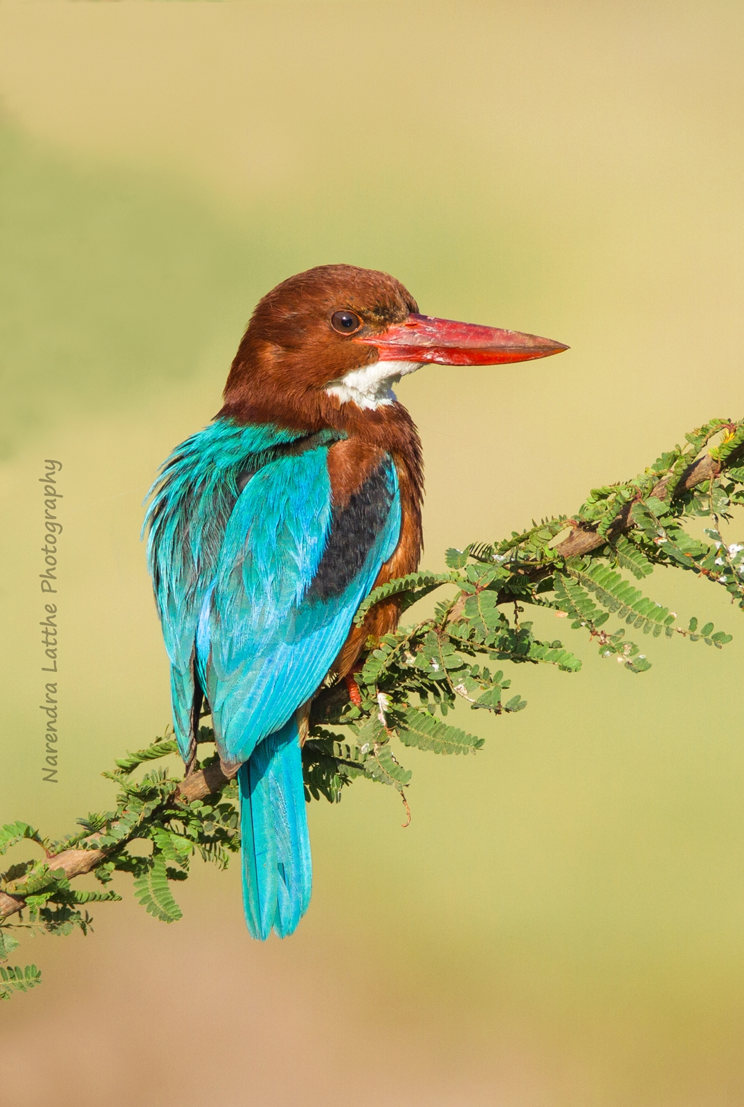 White Breasted Kingfisher...