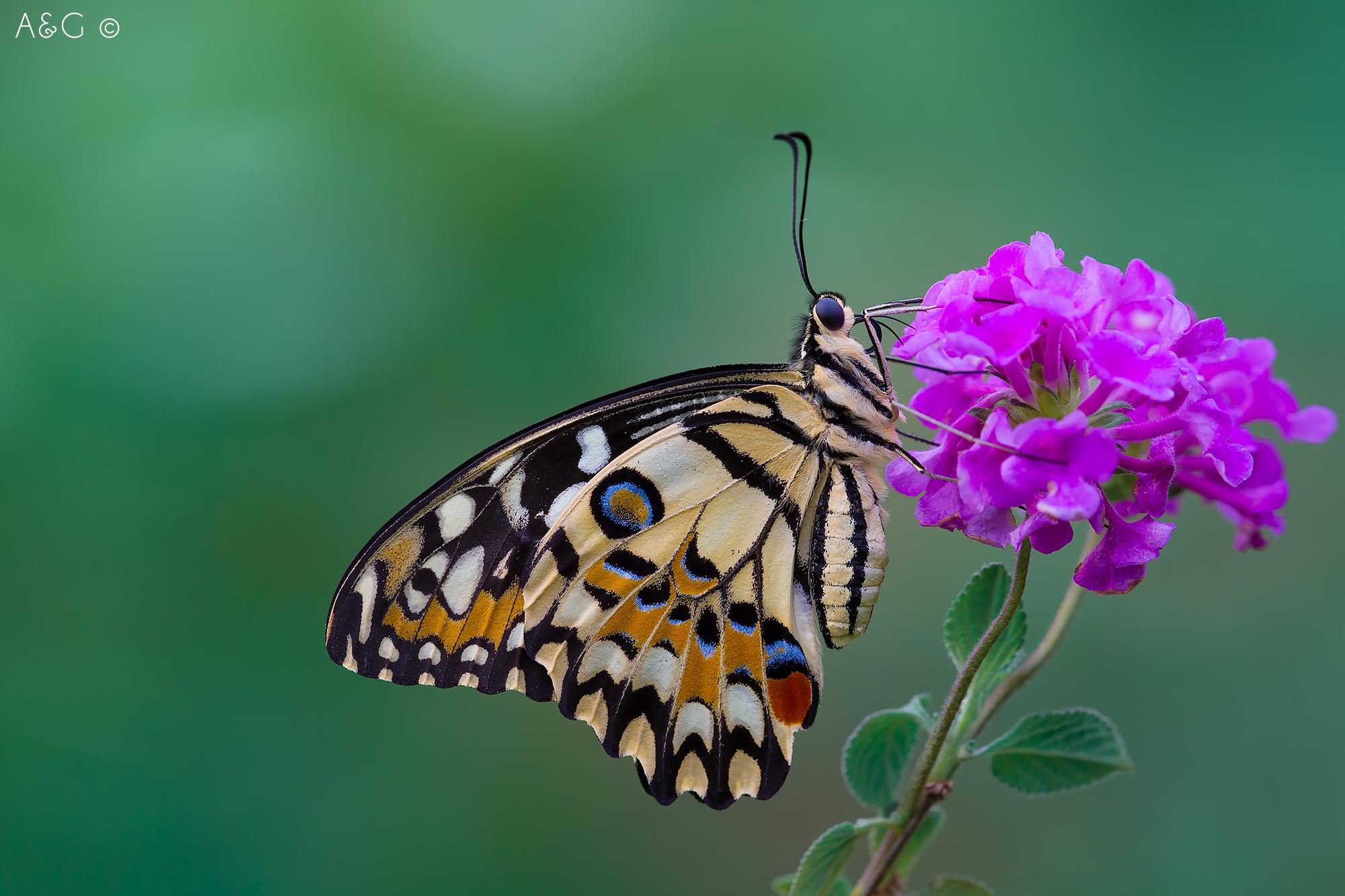 Papilio demoleus...