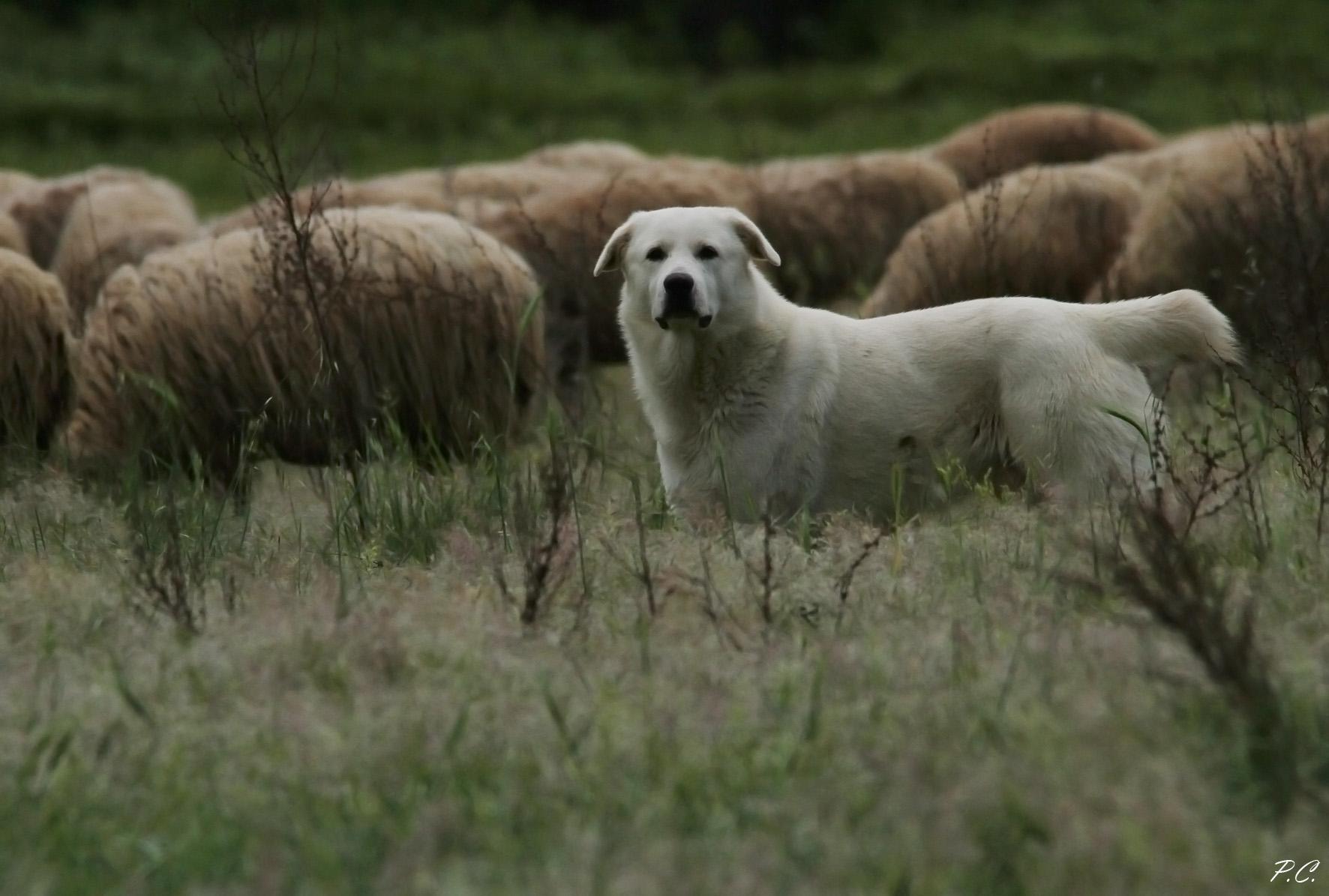 the deputy shepherd...